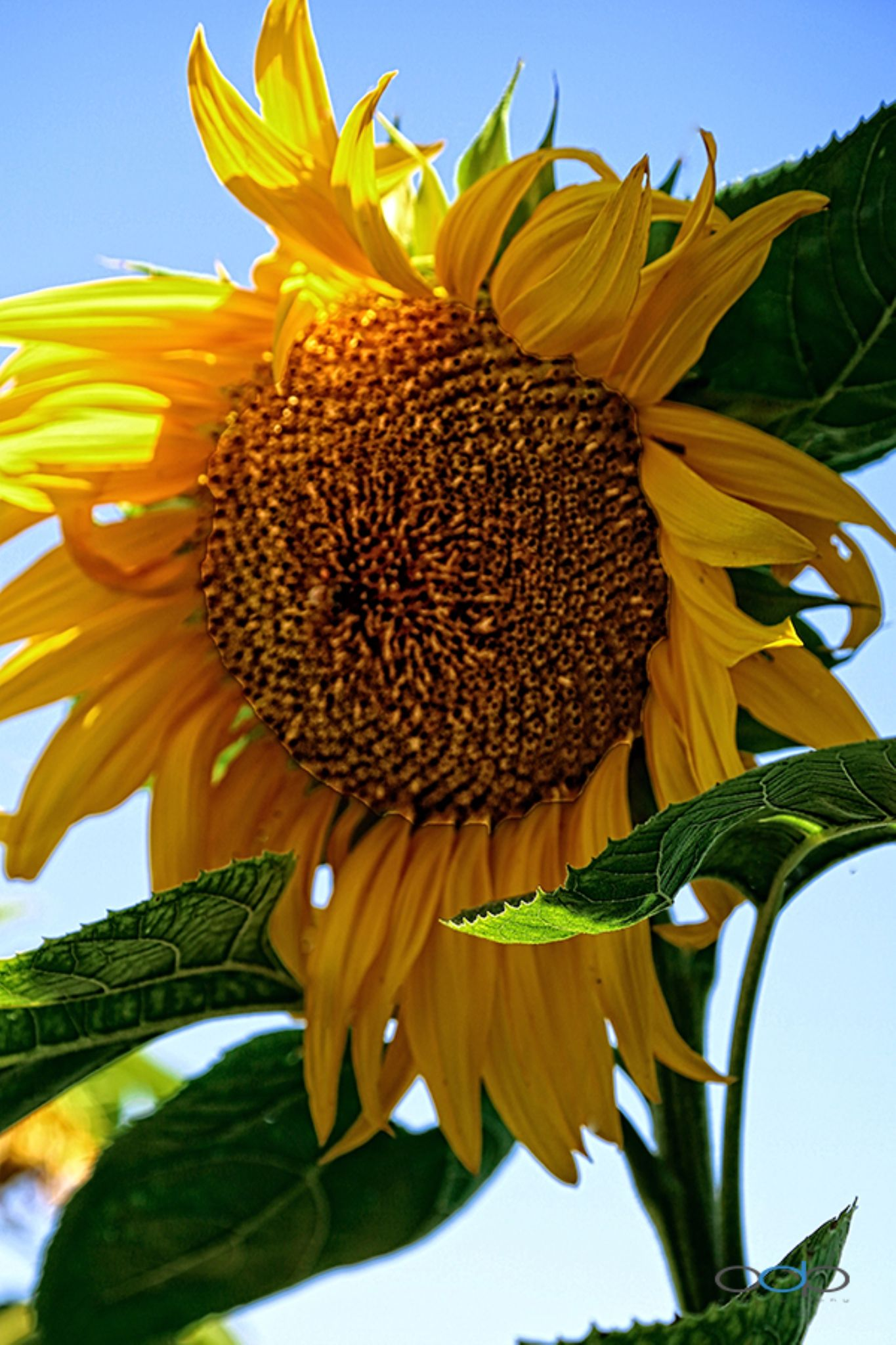 Monster sunflower in the herb garden at Cakebread Cellars winery . . . by OneDigitalPlacePhotography
