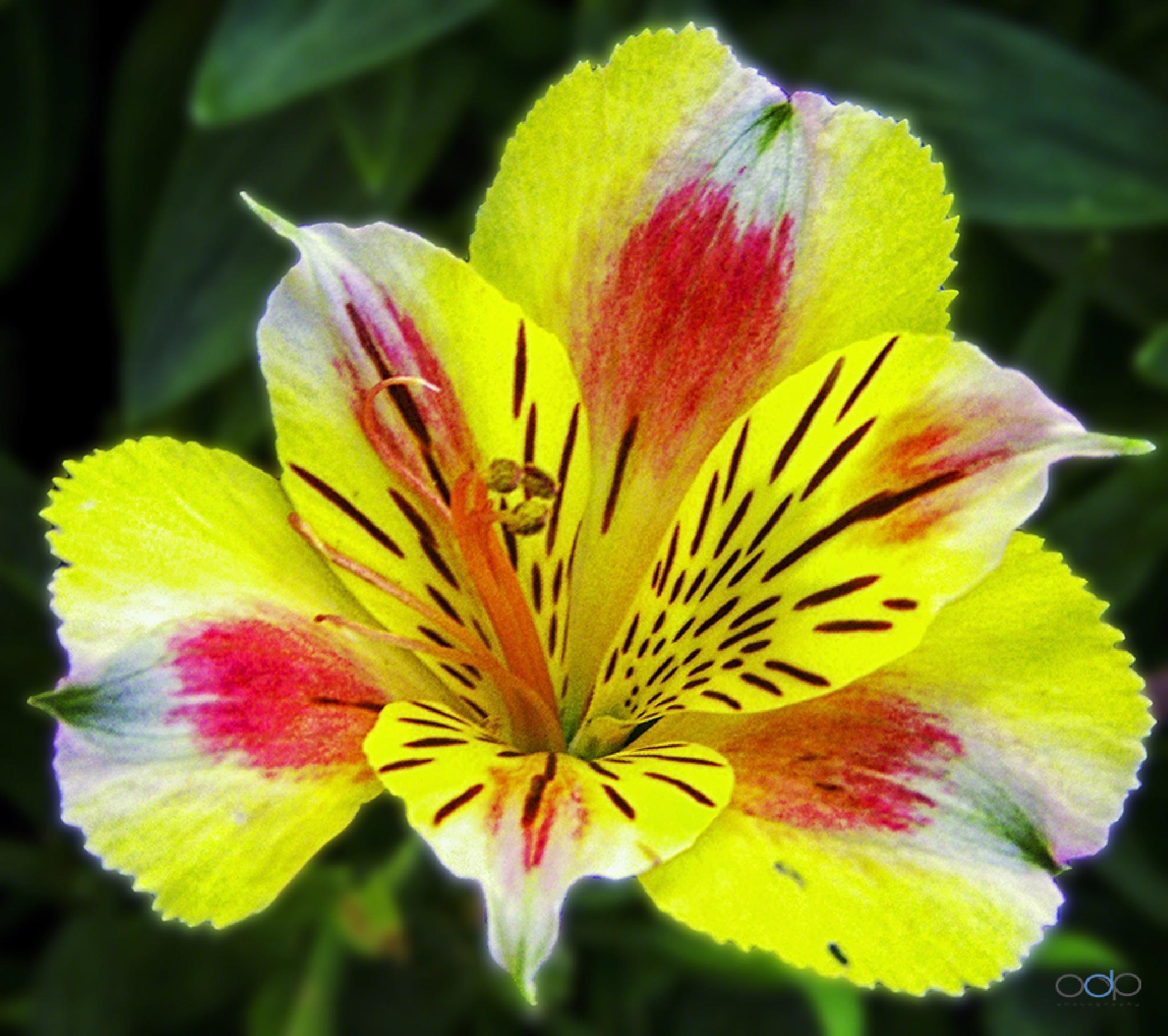 Multicolored flower . . . by OneDigitalPlacePhotography