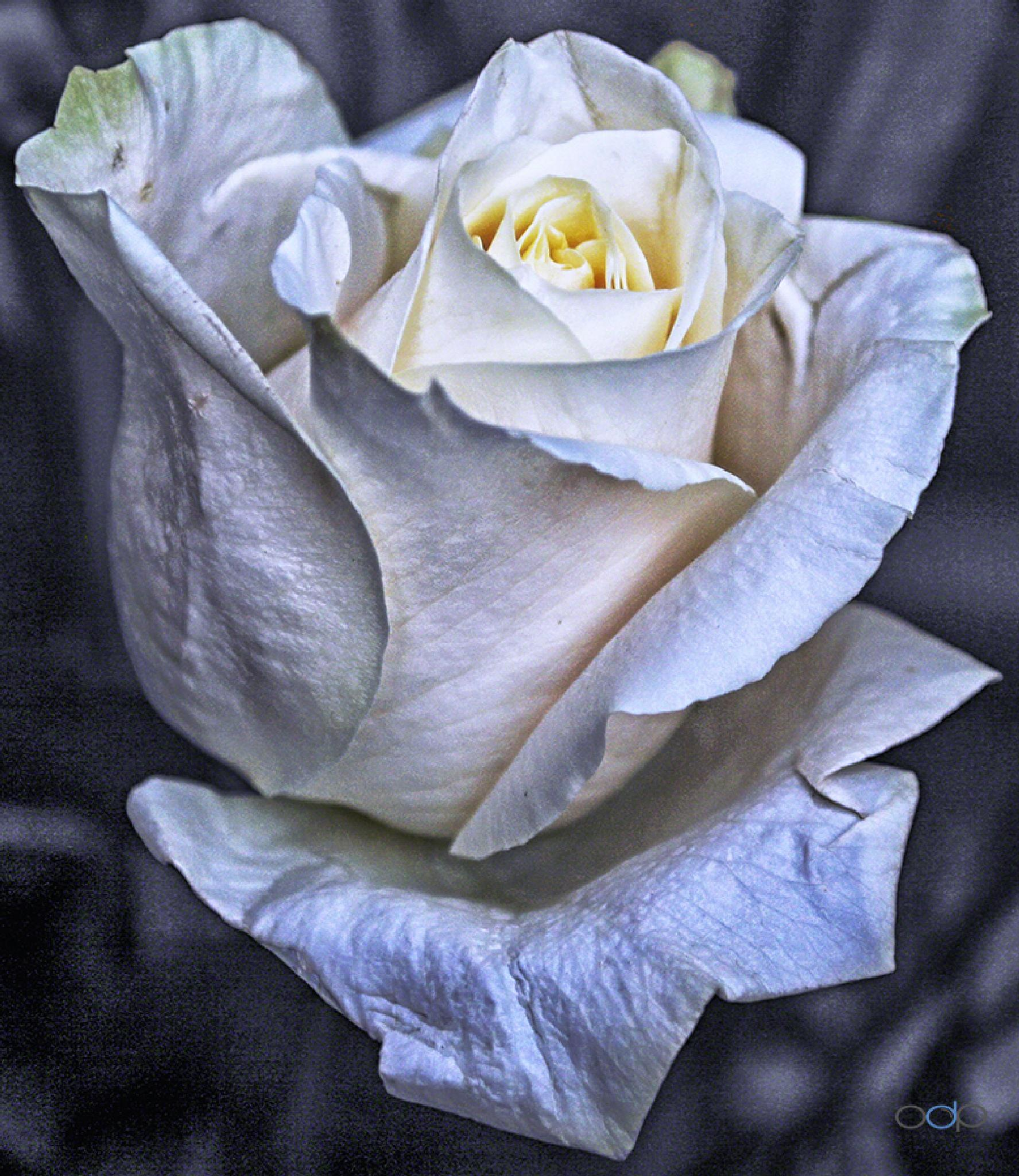 Single white rose macro . . . by OneDigitalPlacePhotography