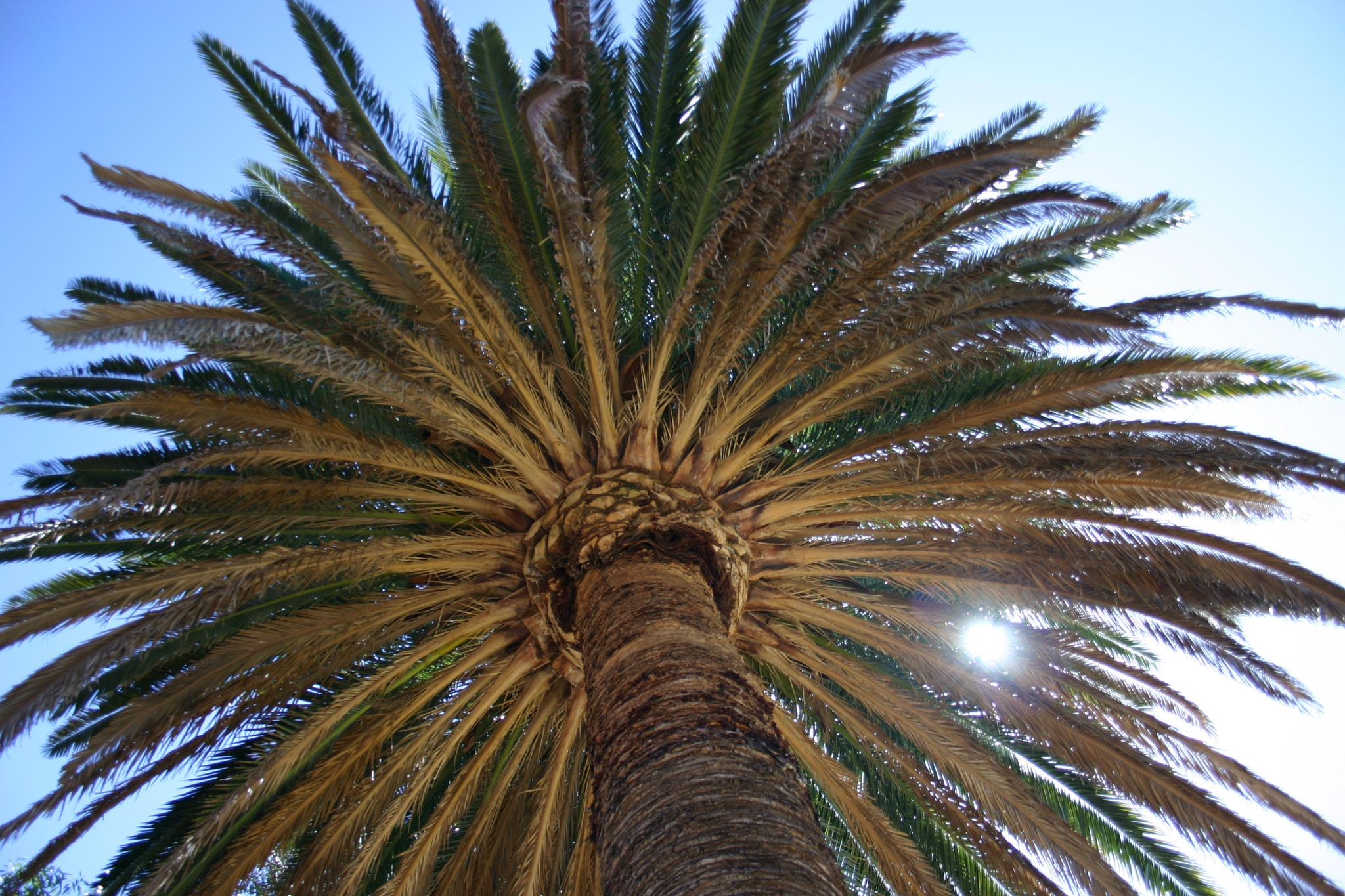 Sun Through the Palm Tree by Fraser McCulloch