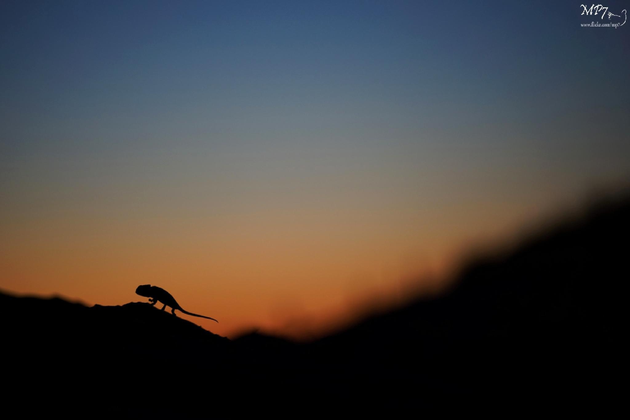 Mediterranean Chameleon Chamaeleo chamaeleon, Spain by Matthieu Berroneau