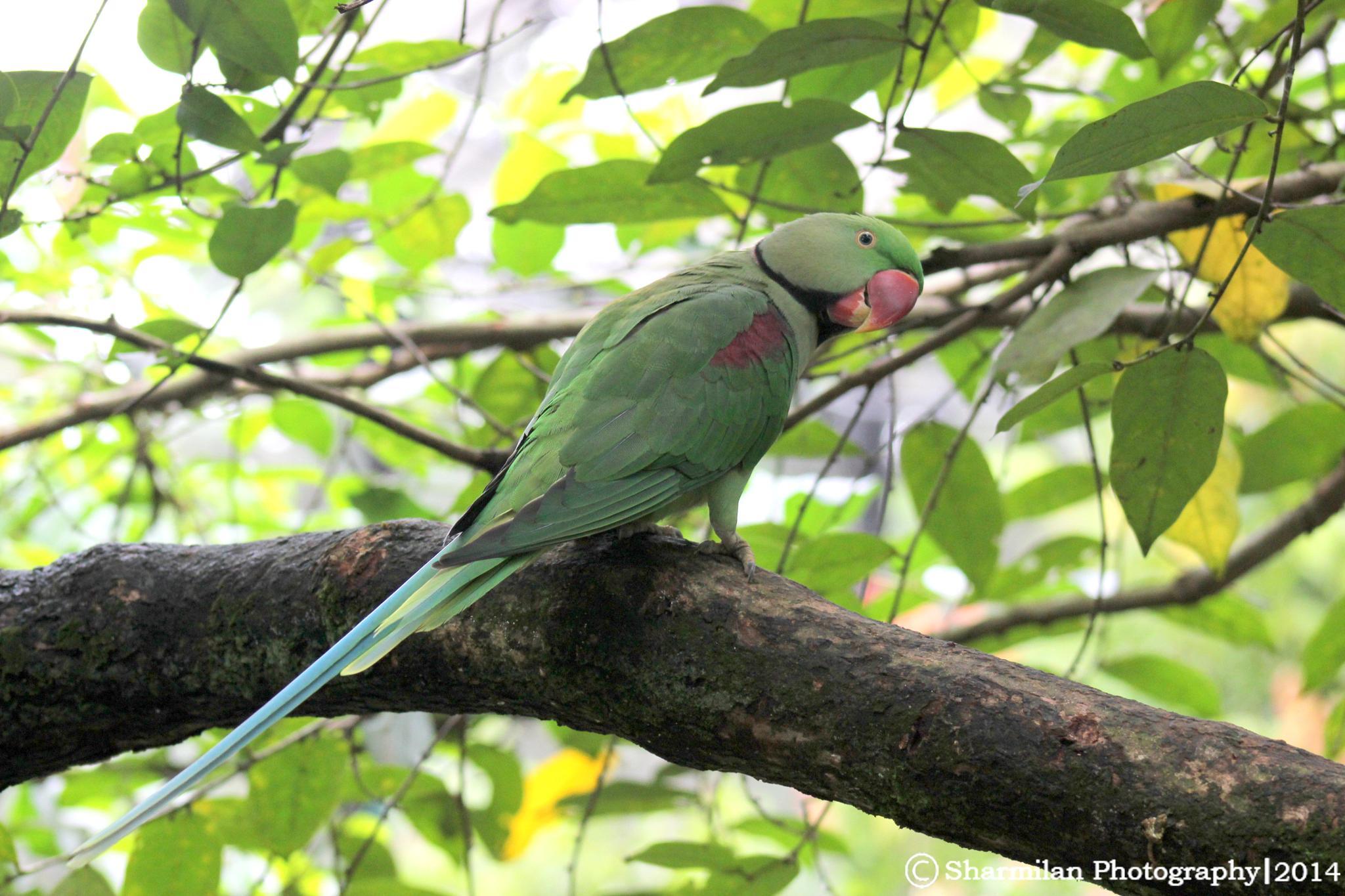 Parakeet  by Sharmilan
