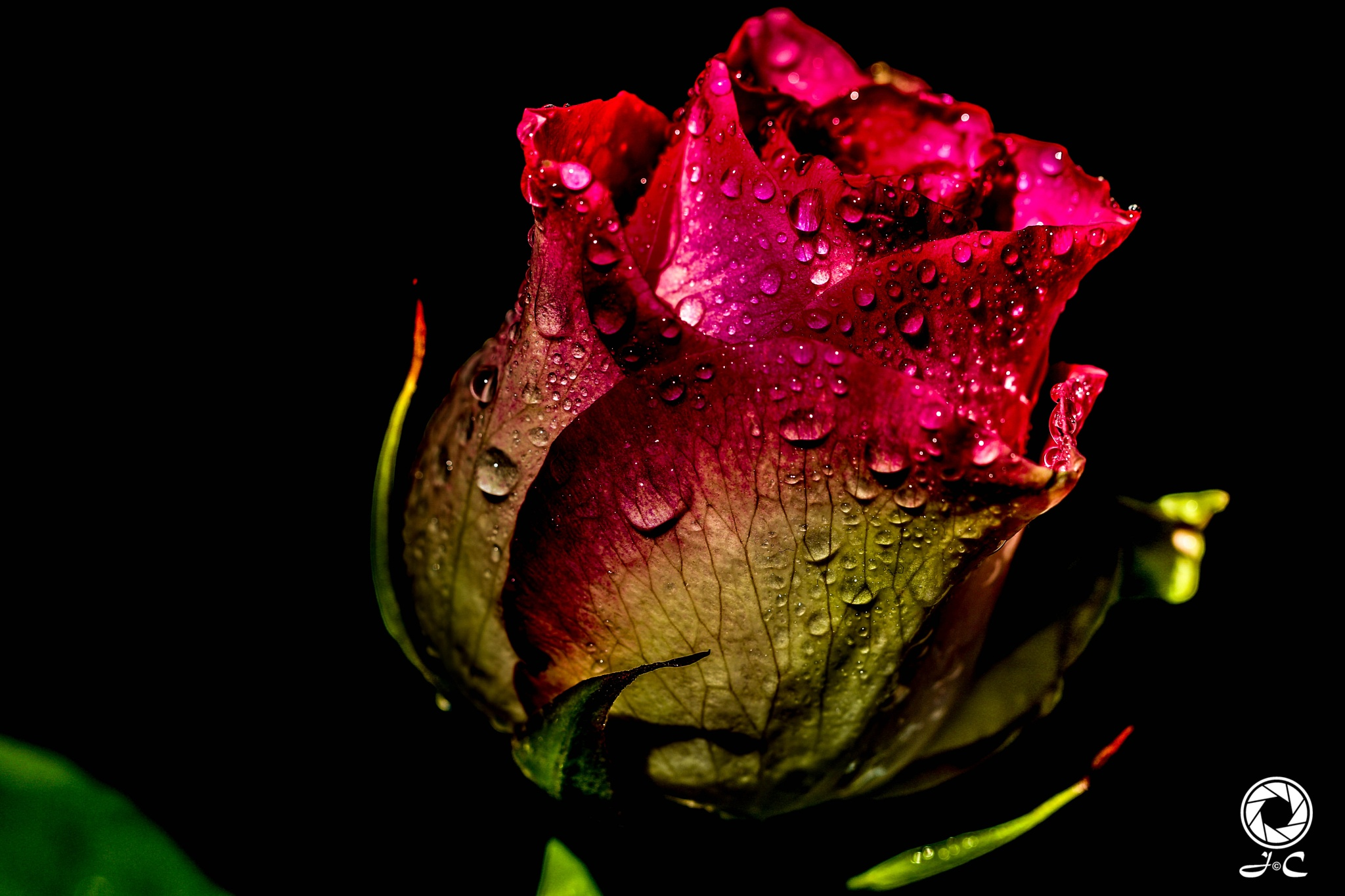 la rose du matin  by josephine Campi