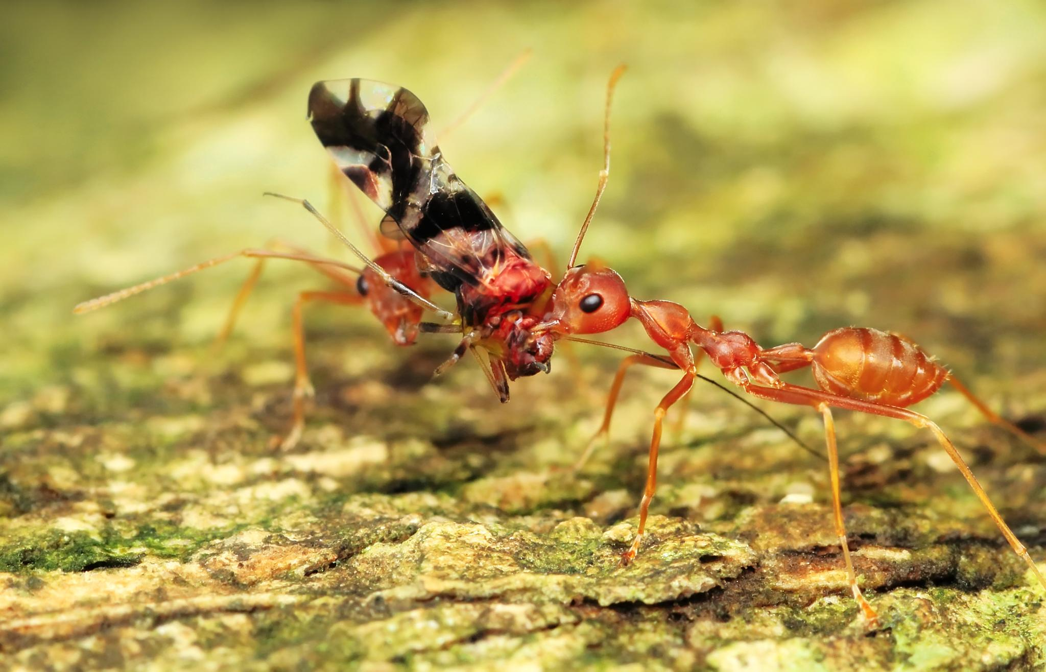 Red Ant by Ridwan Safoetra
