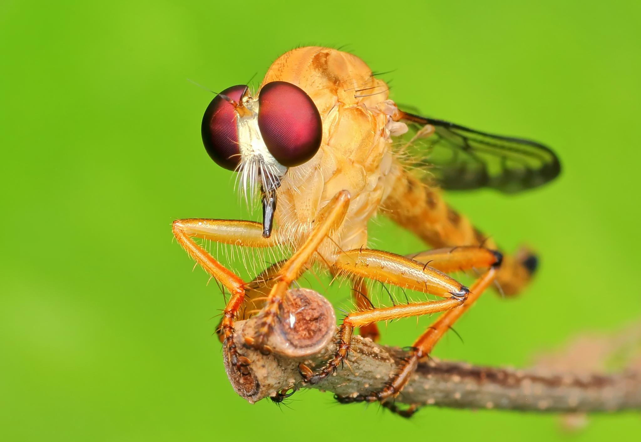 red eyes (robberfly) by Ridwan Safoetra
