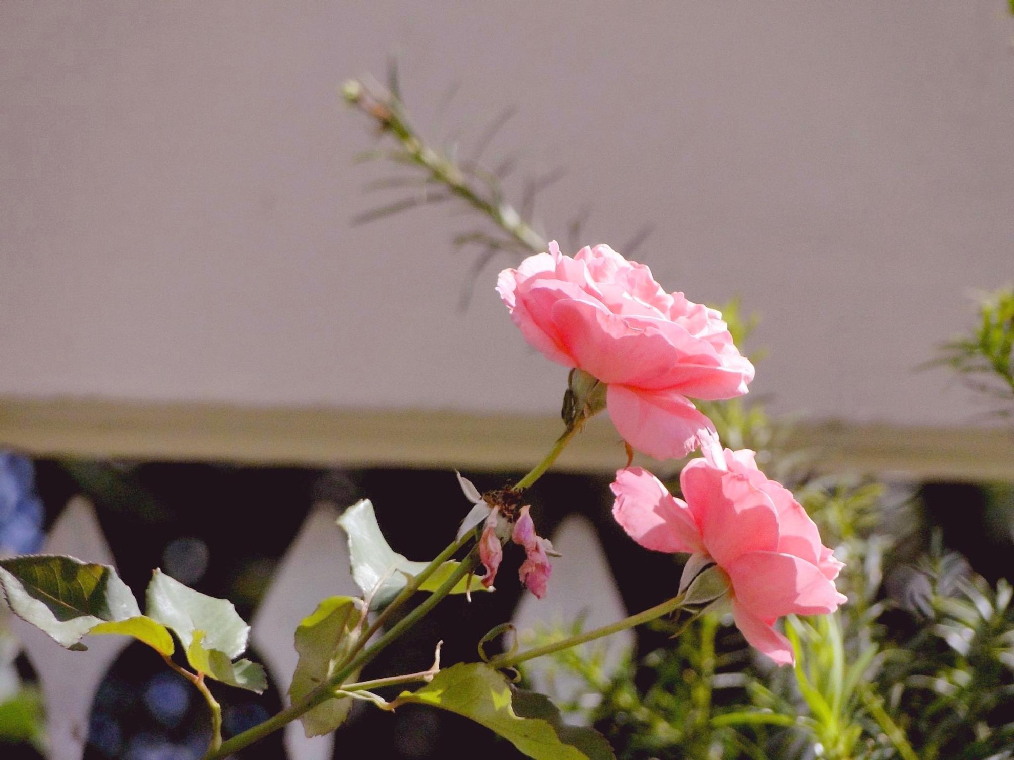 Rosas são rosas by julia.primak