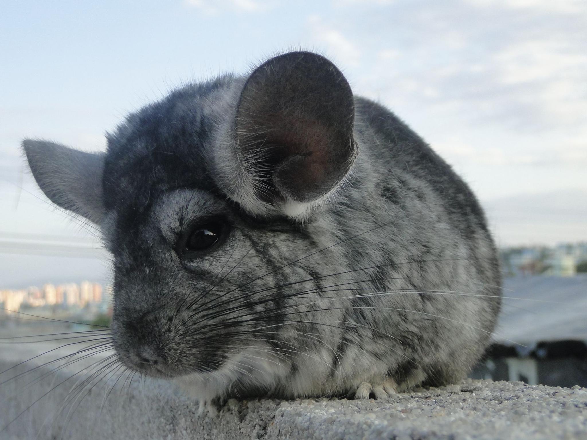 Photo in Animal #chinchila #animal #fofo #cute #florianopolis
