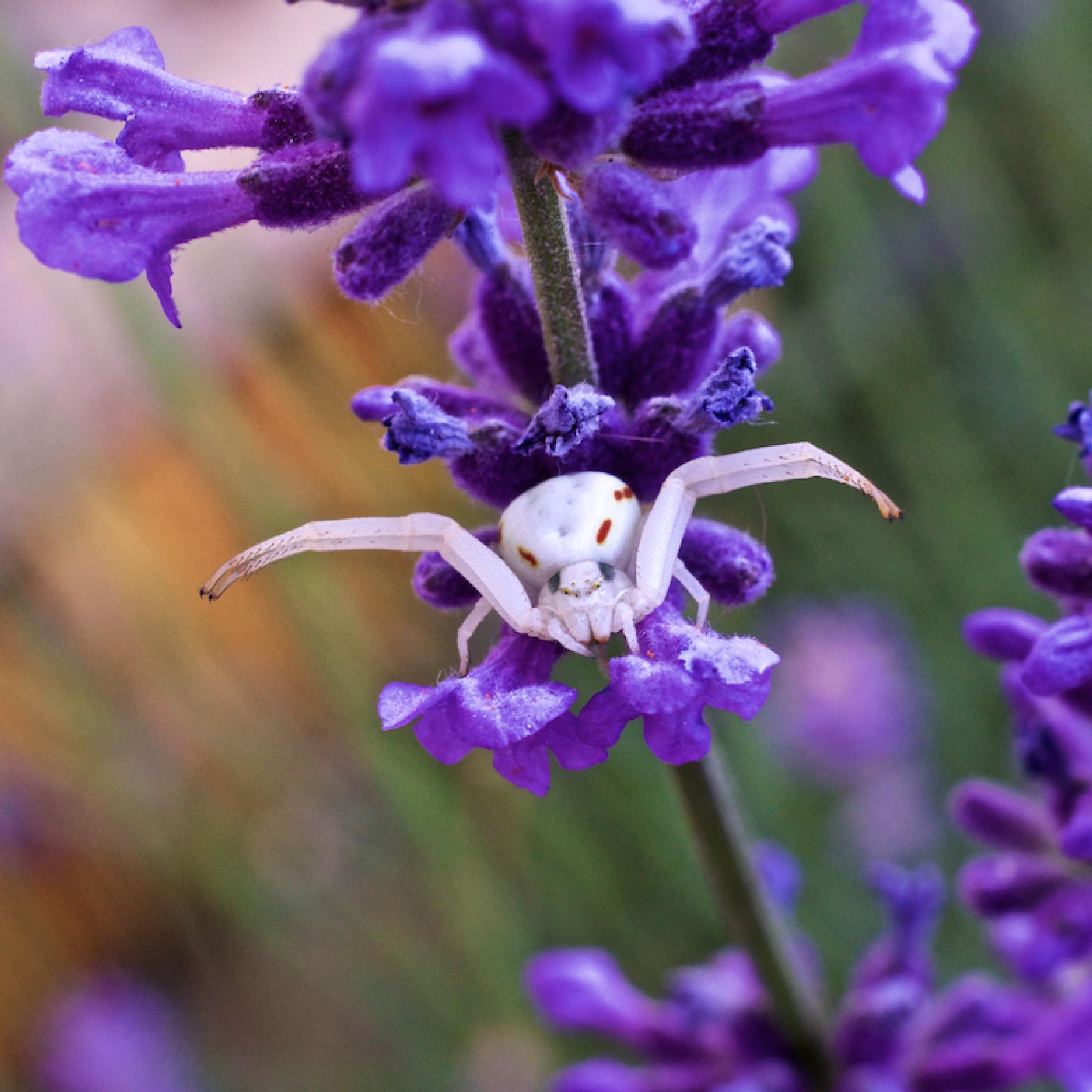 Krabbenspinne by nafo.fotodesign
