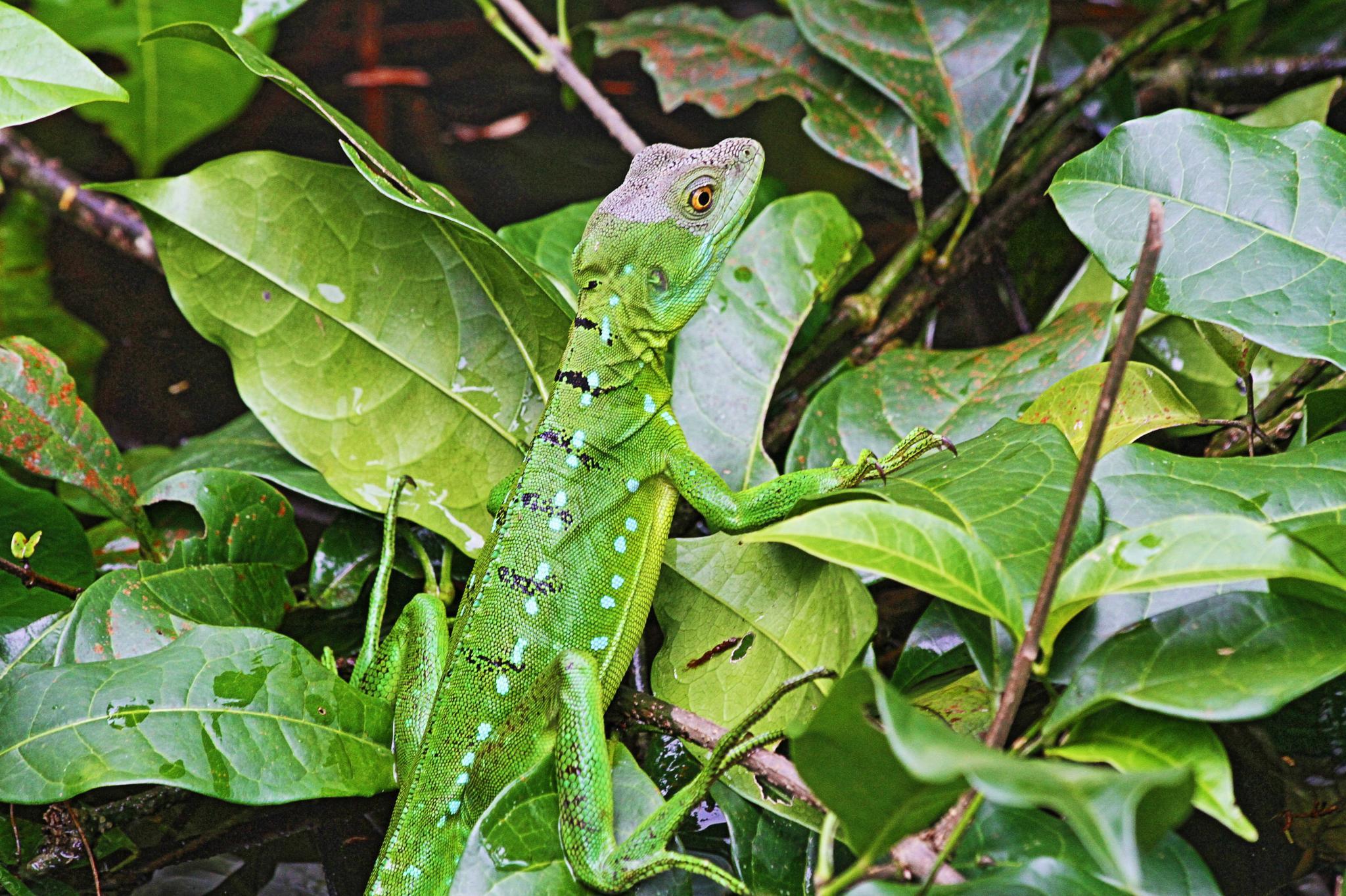 Basilisk Lizard by Robert Pelletier