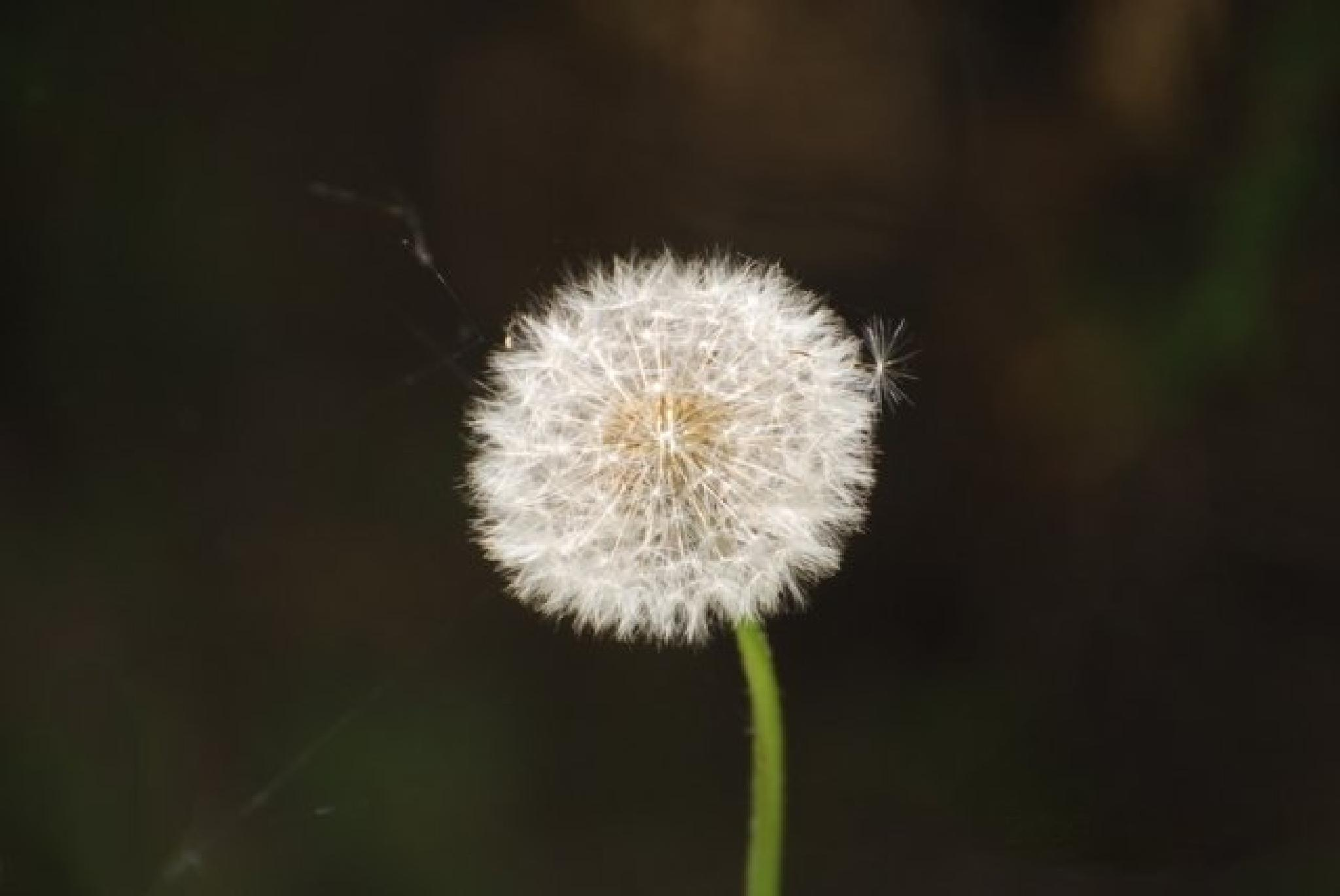 Dandelion by wudzman