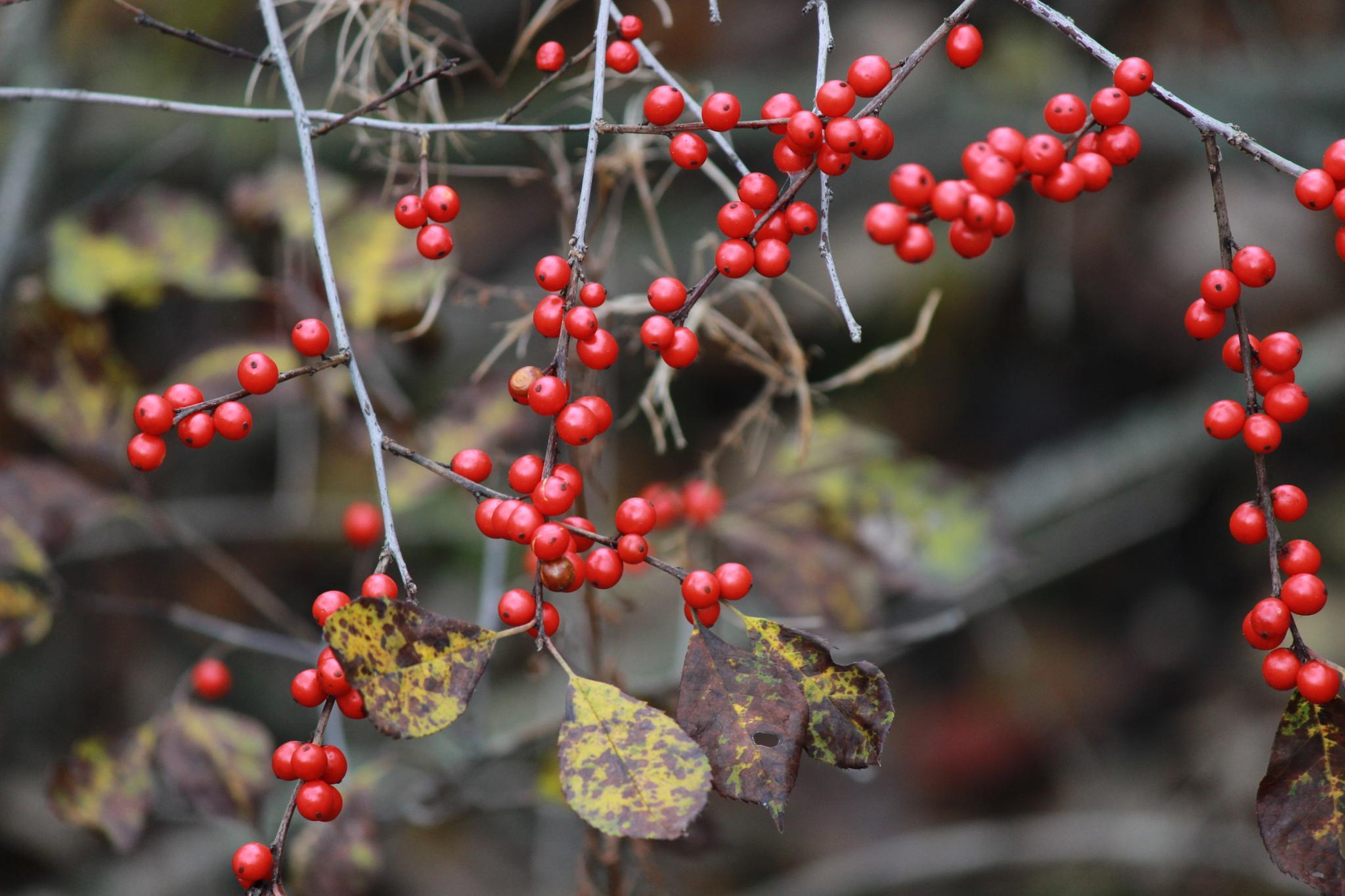 Red berries by millerinman