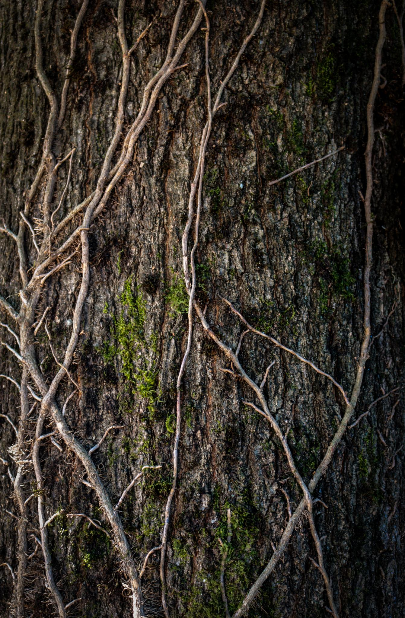 Old Ivy by Ronald Graham Hays