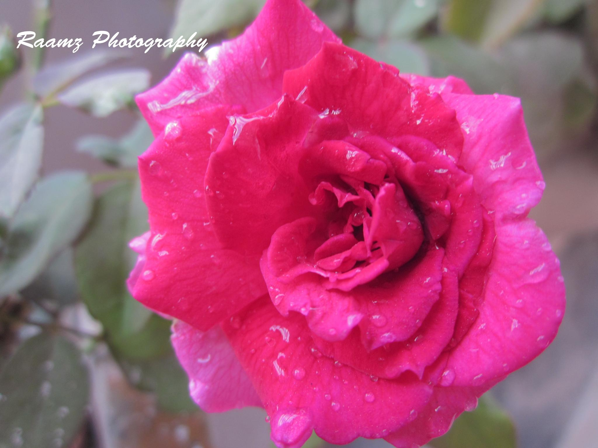 Rose by ramadevireddy