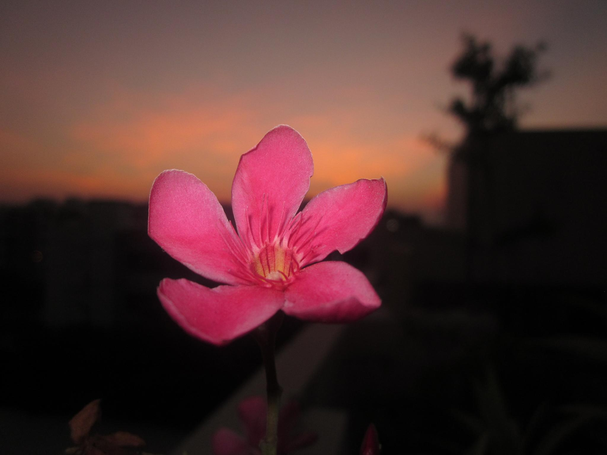 Photo in Landscape #landscape #flower #nature #sky #evening #pink