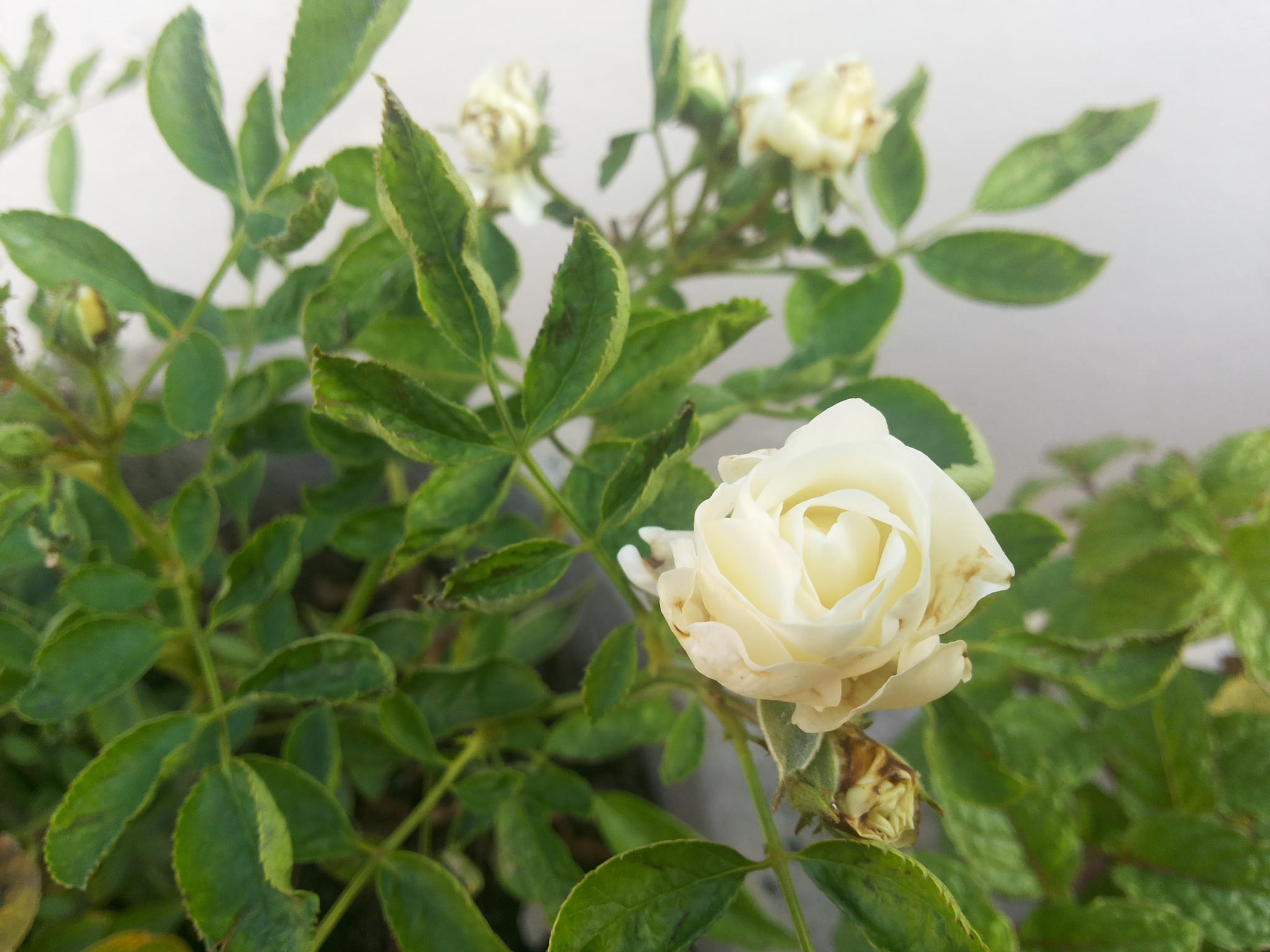 white Rose by ramadevireddy