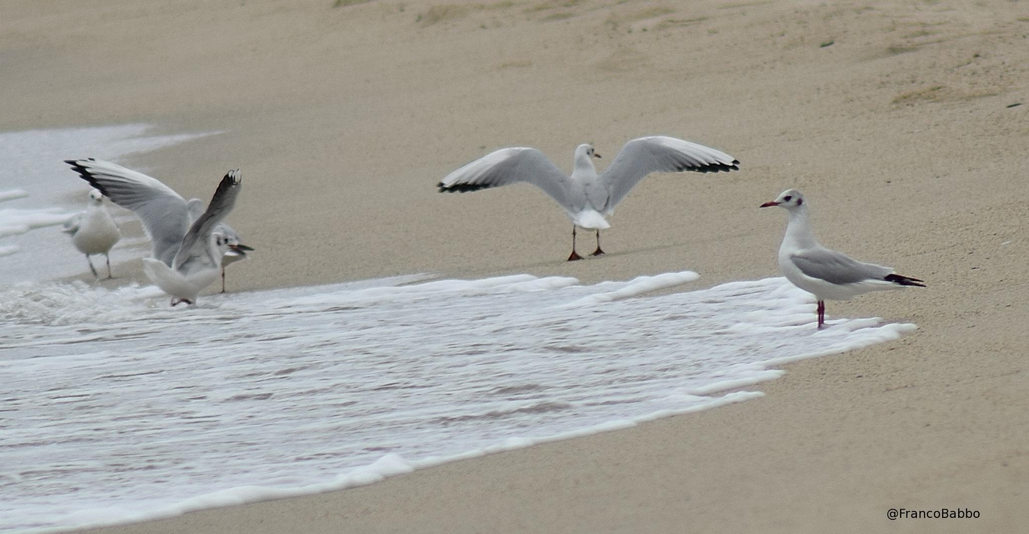 seagulls by Franco Babbo