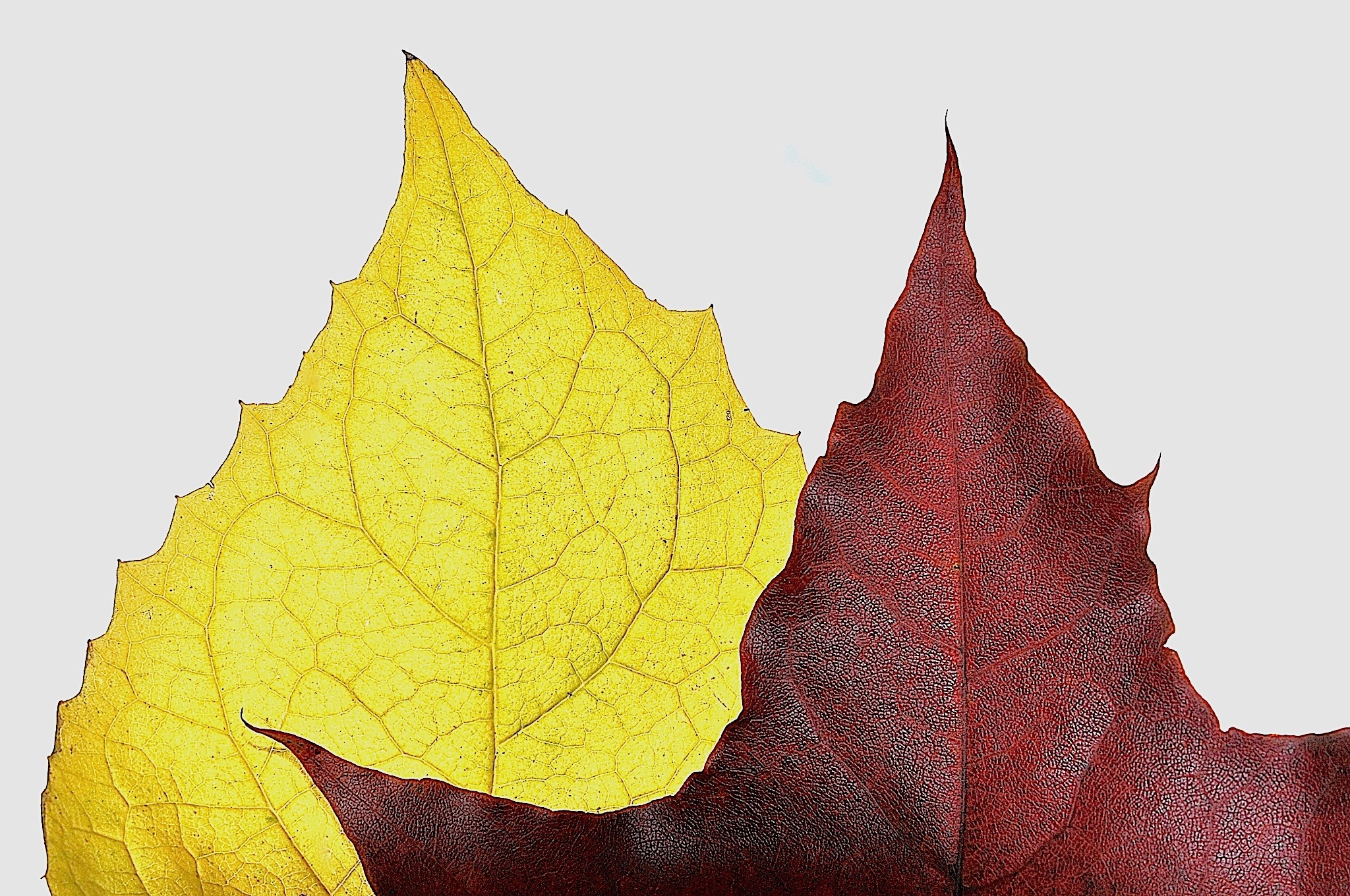 Autumns leaf by moeng