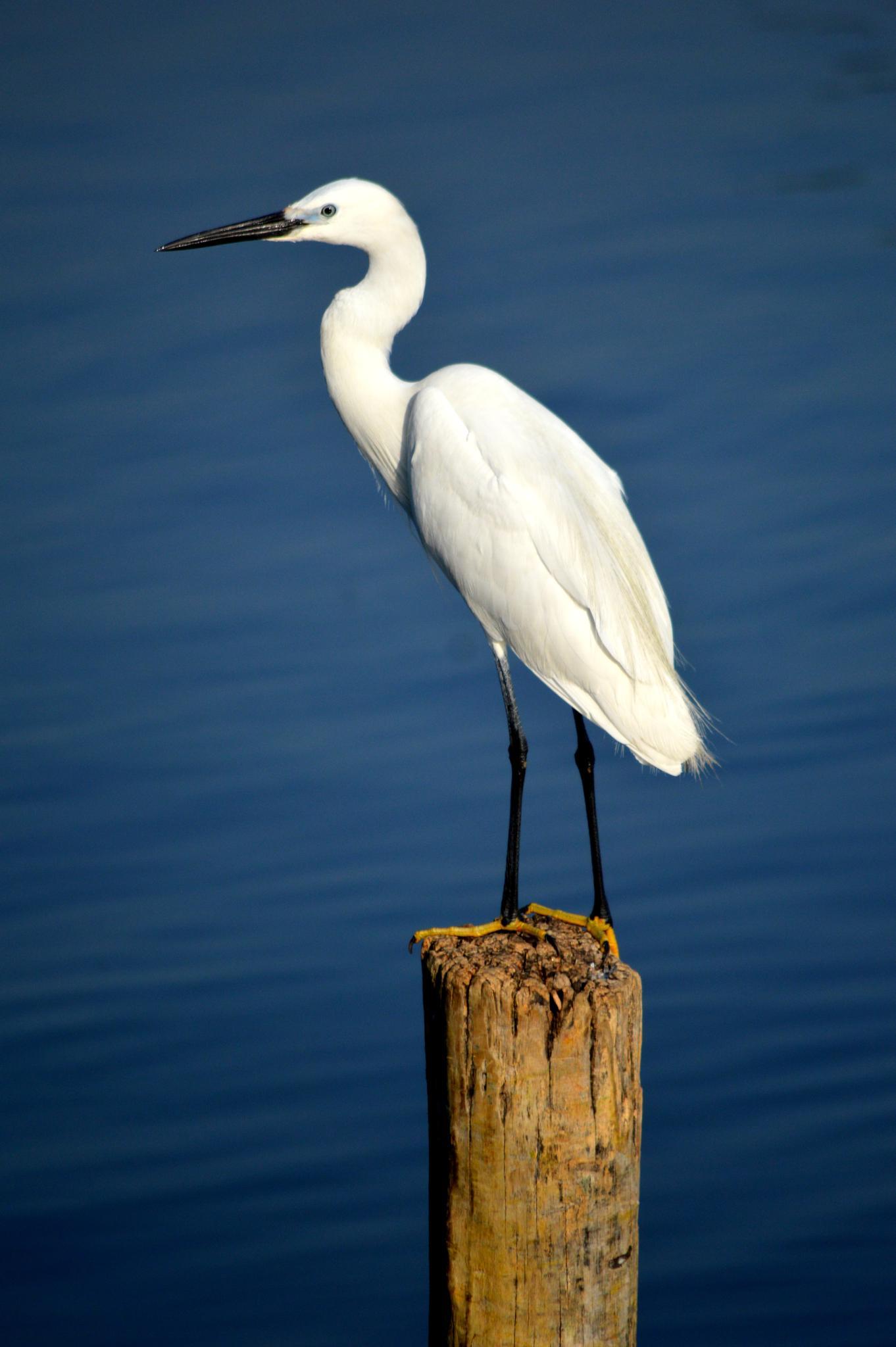 Egret by Aadil Hayat Bhat