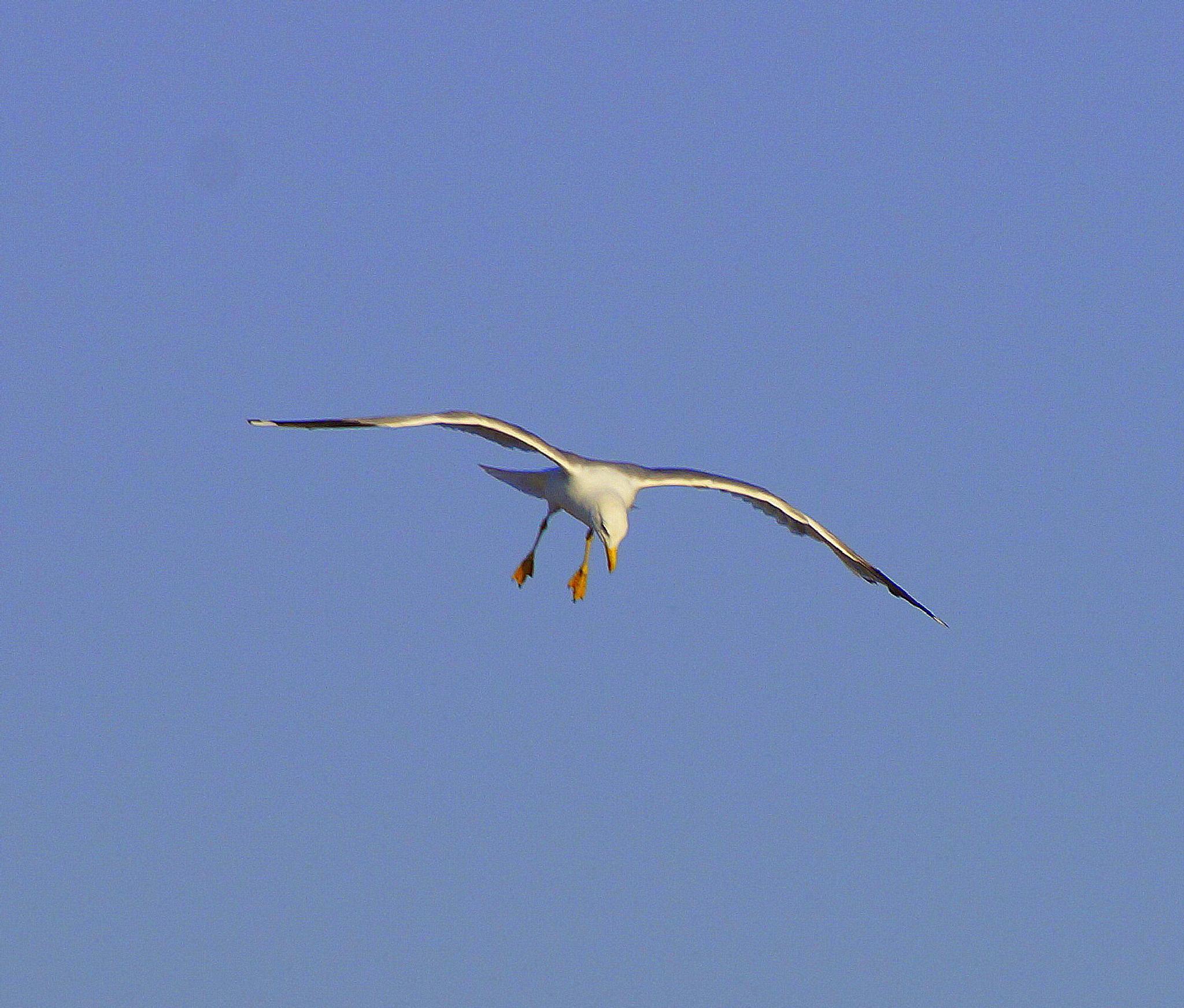 seagull by sreten nakićenović