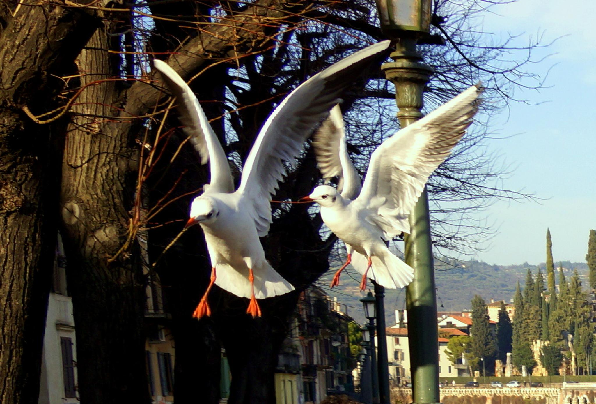 river gulls by sreten nakićenović