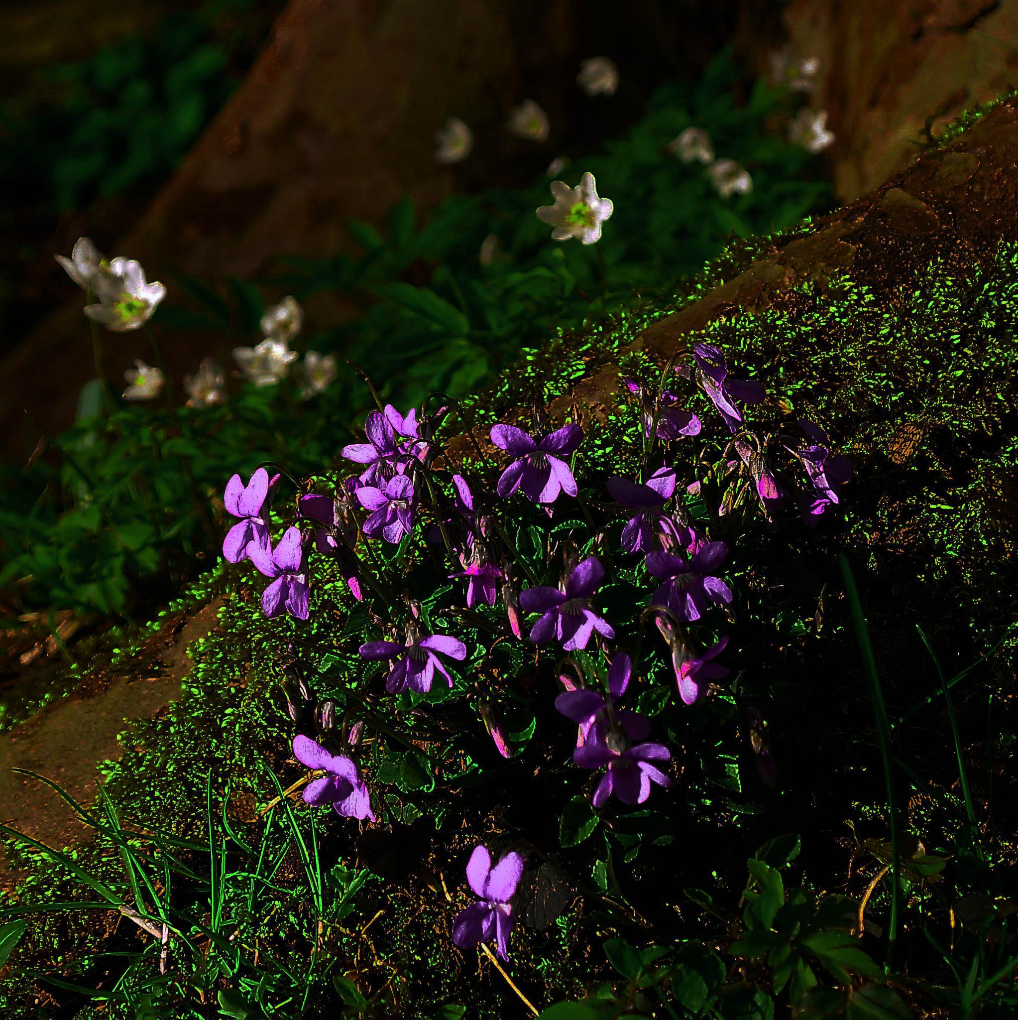 violets by sreten nakićenović