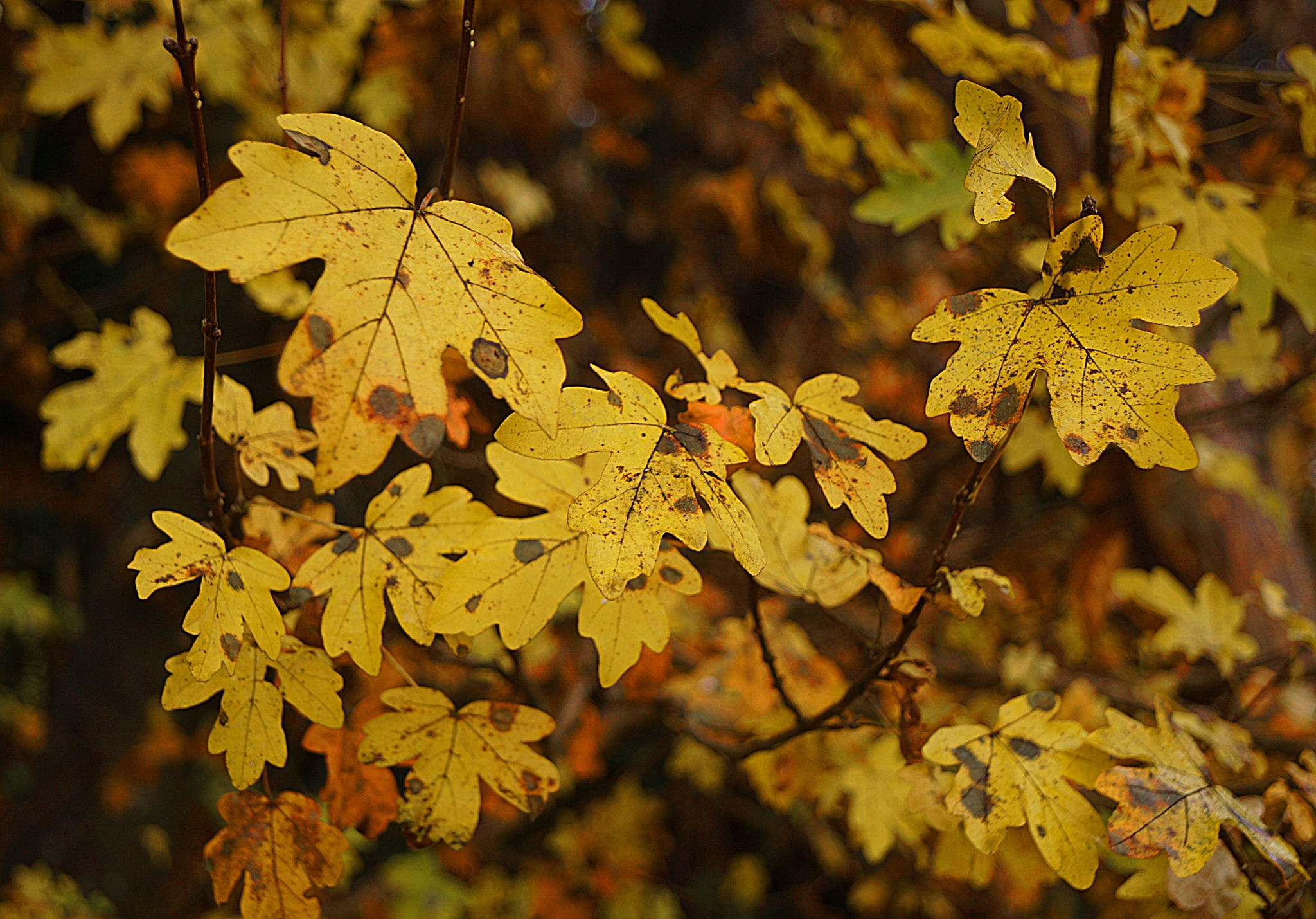 Autumn leaves by sreten nakićenović