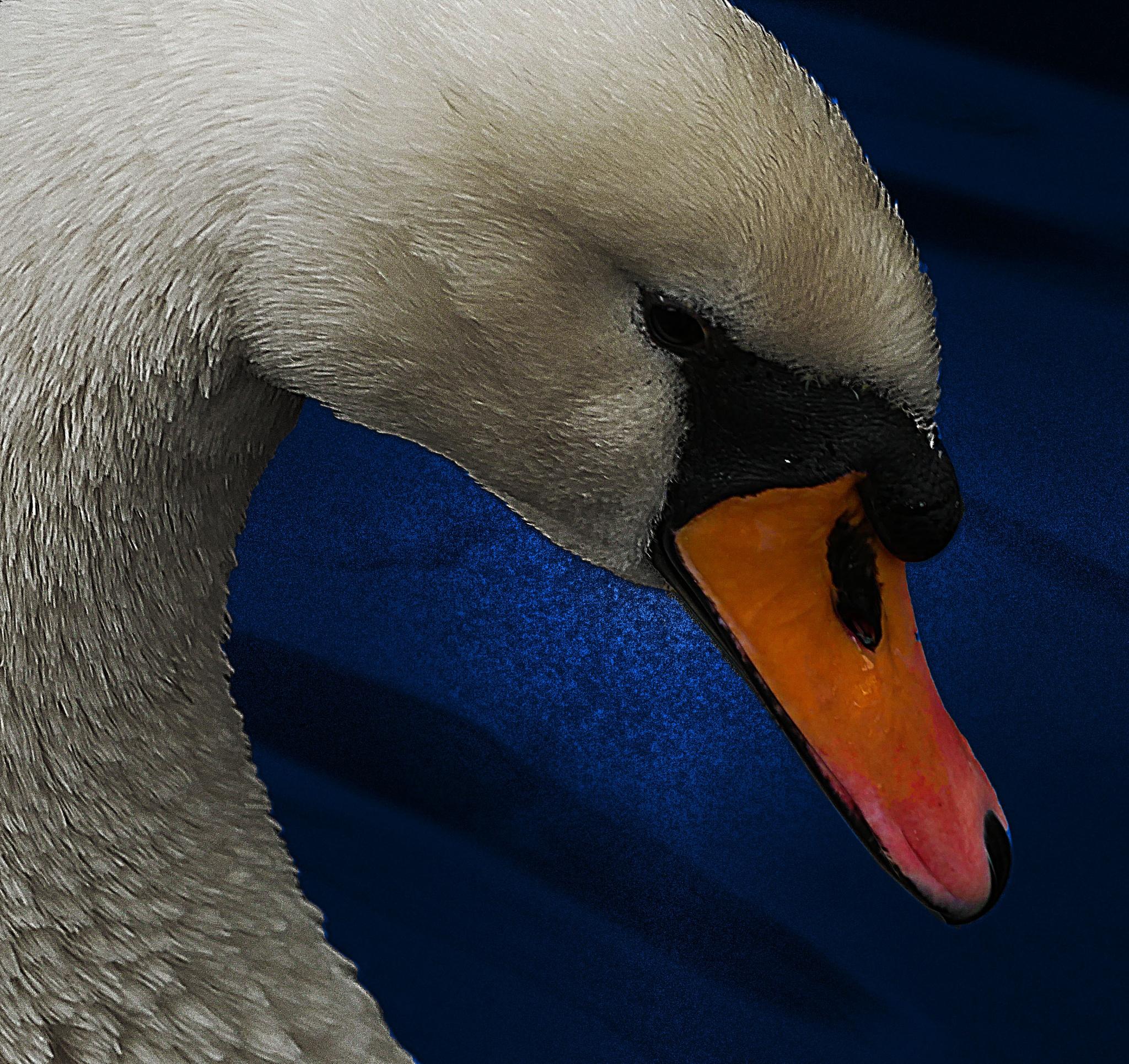 Swan by sreten nakićenović