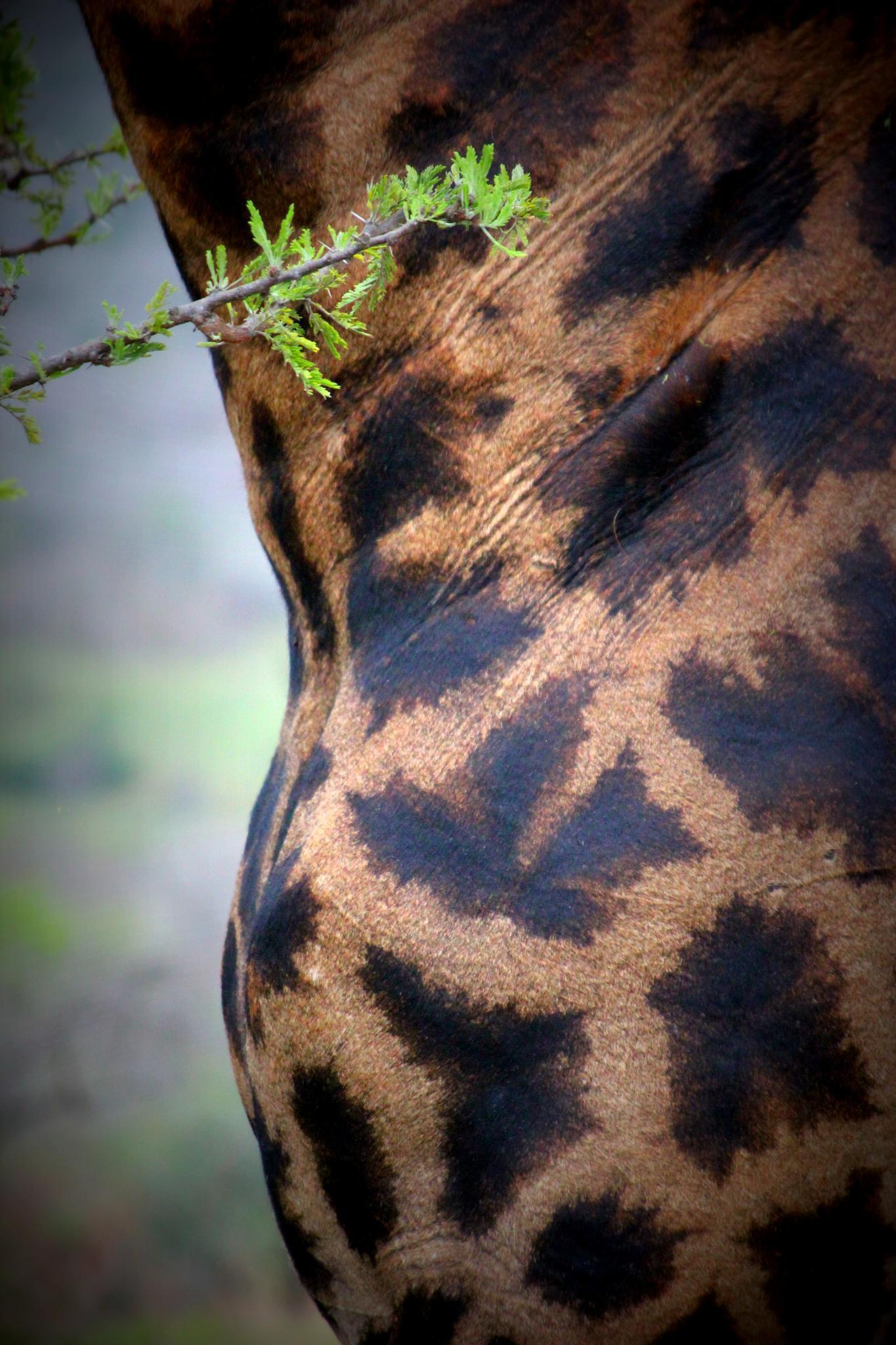 Wild giraffe by selien.kimpe