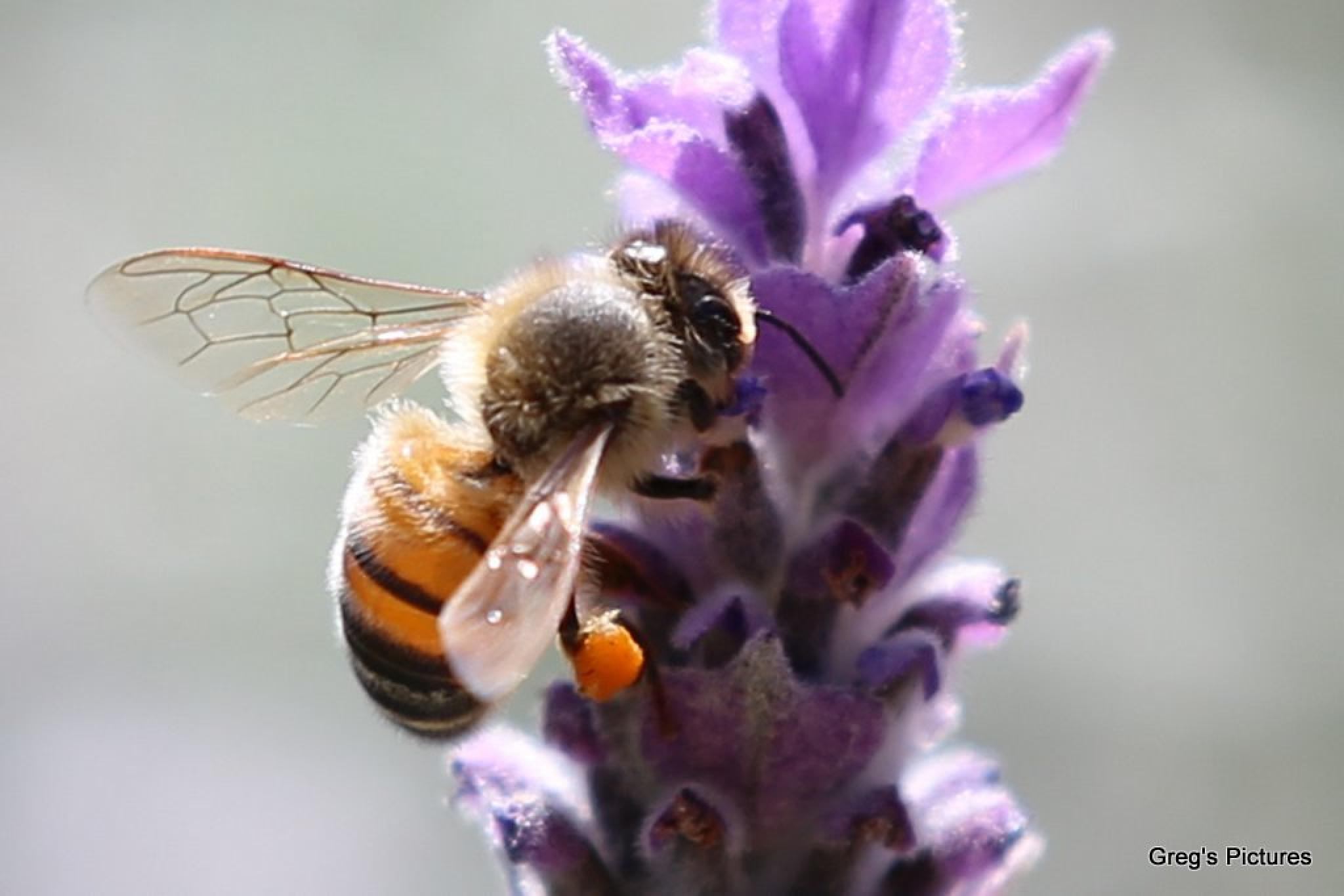 Bee on Lavender 01 by Greg OConnell