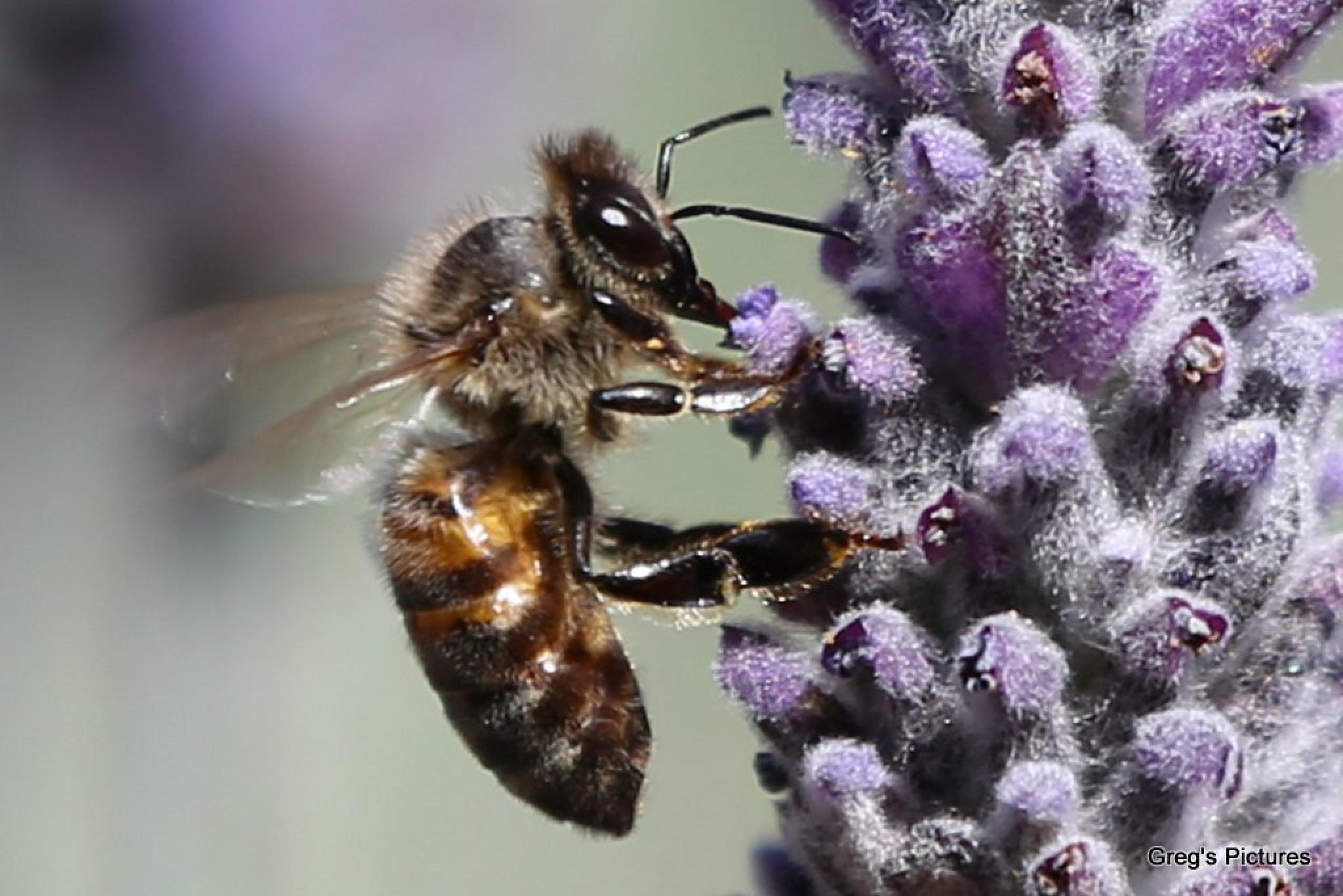 Bee on Lavender 02 by Greg OConnell