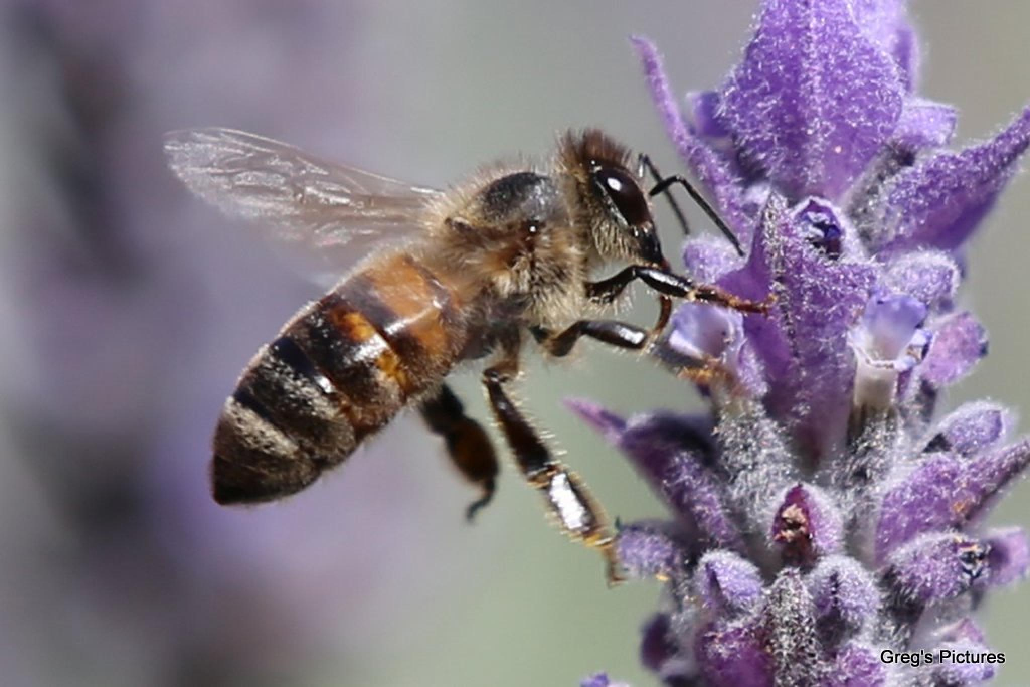Bee on Lavender 03 by Greg OConnell