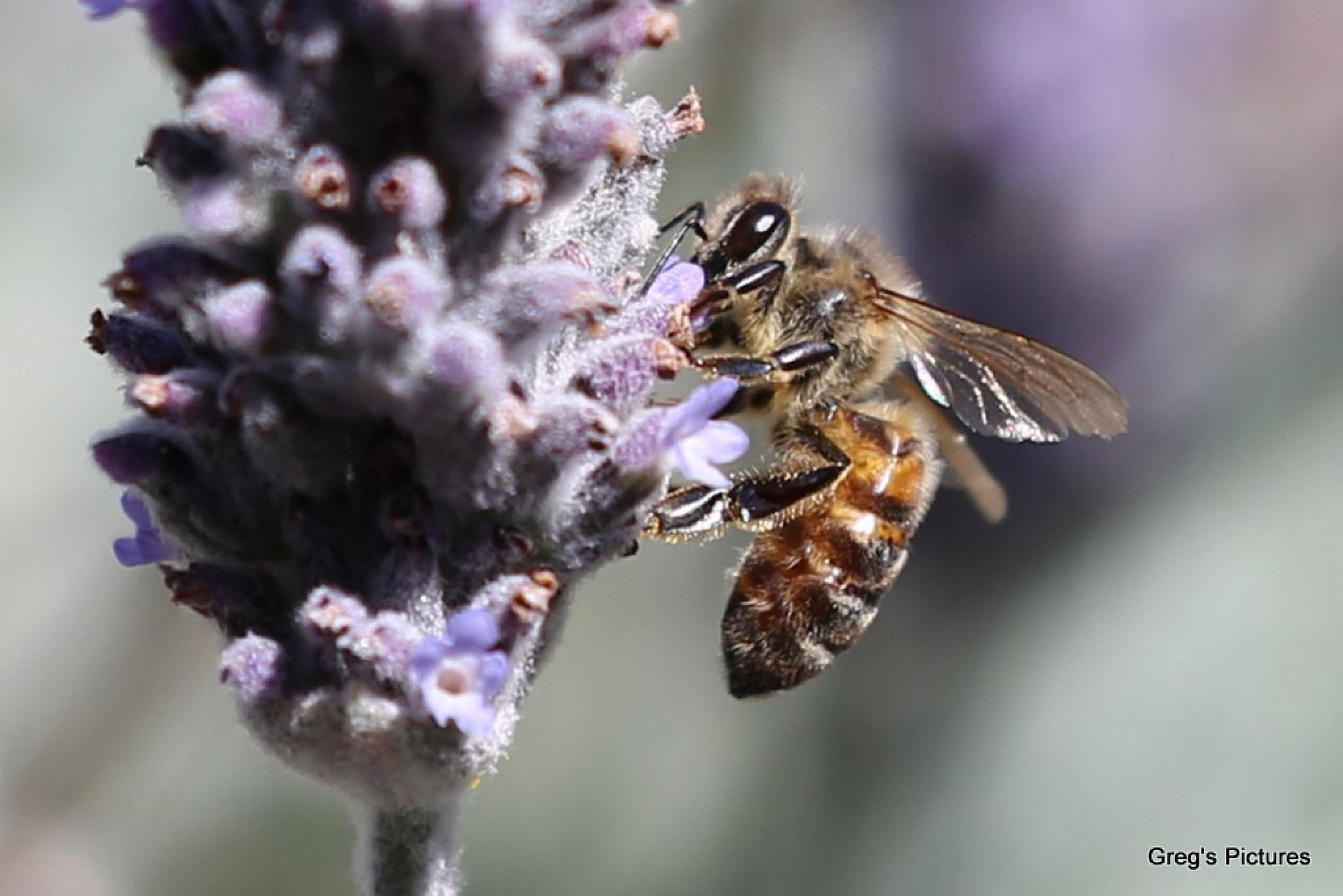 Bee on Lavender 04 by Greg OConnell