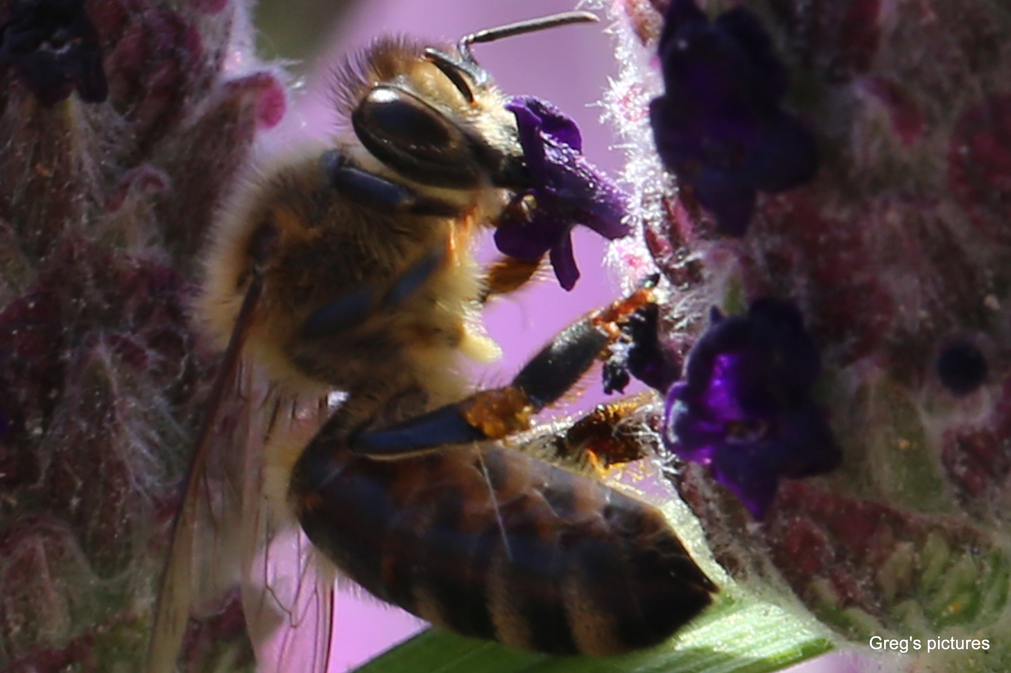 Surprise - Bee photographed drinking nectar by Greg OConnell