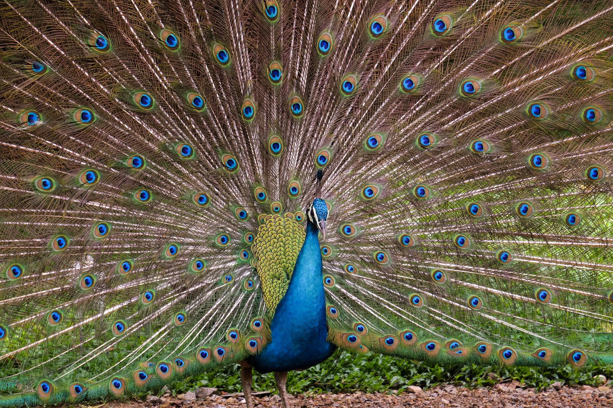 Peafowl by Burhanuddin