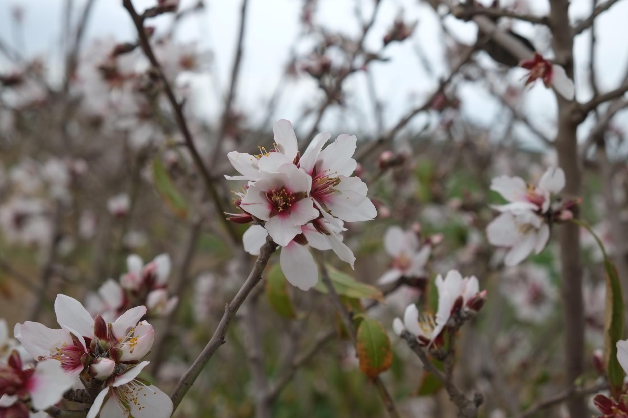Almond Tree by doron