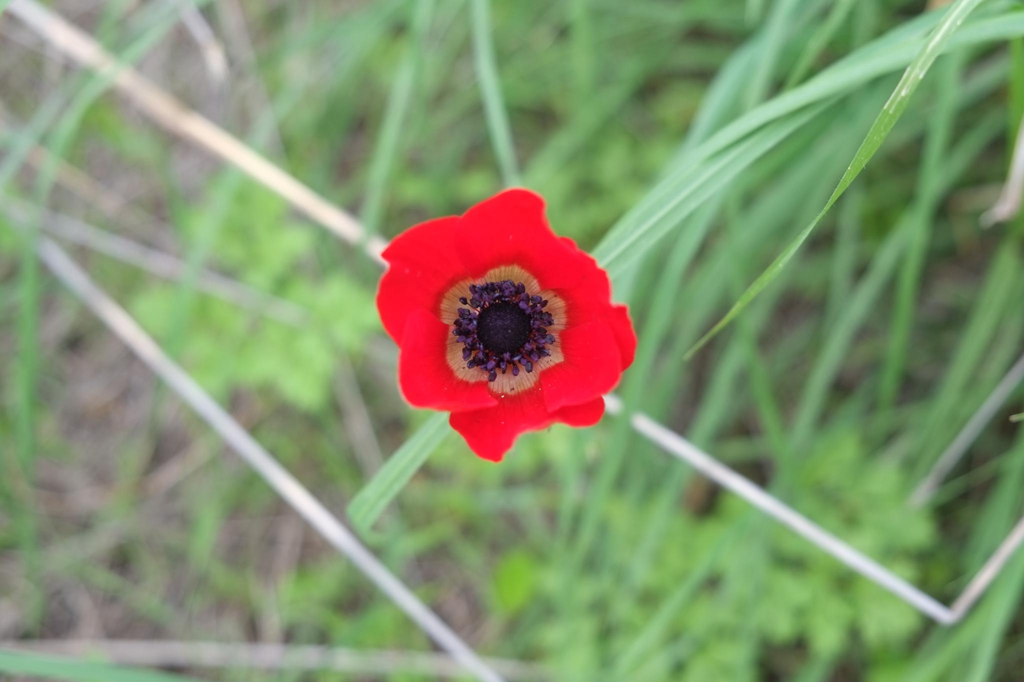 Anemone by doron