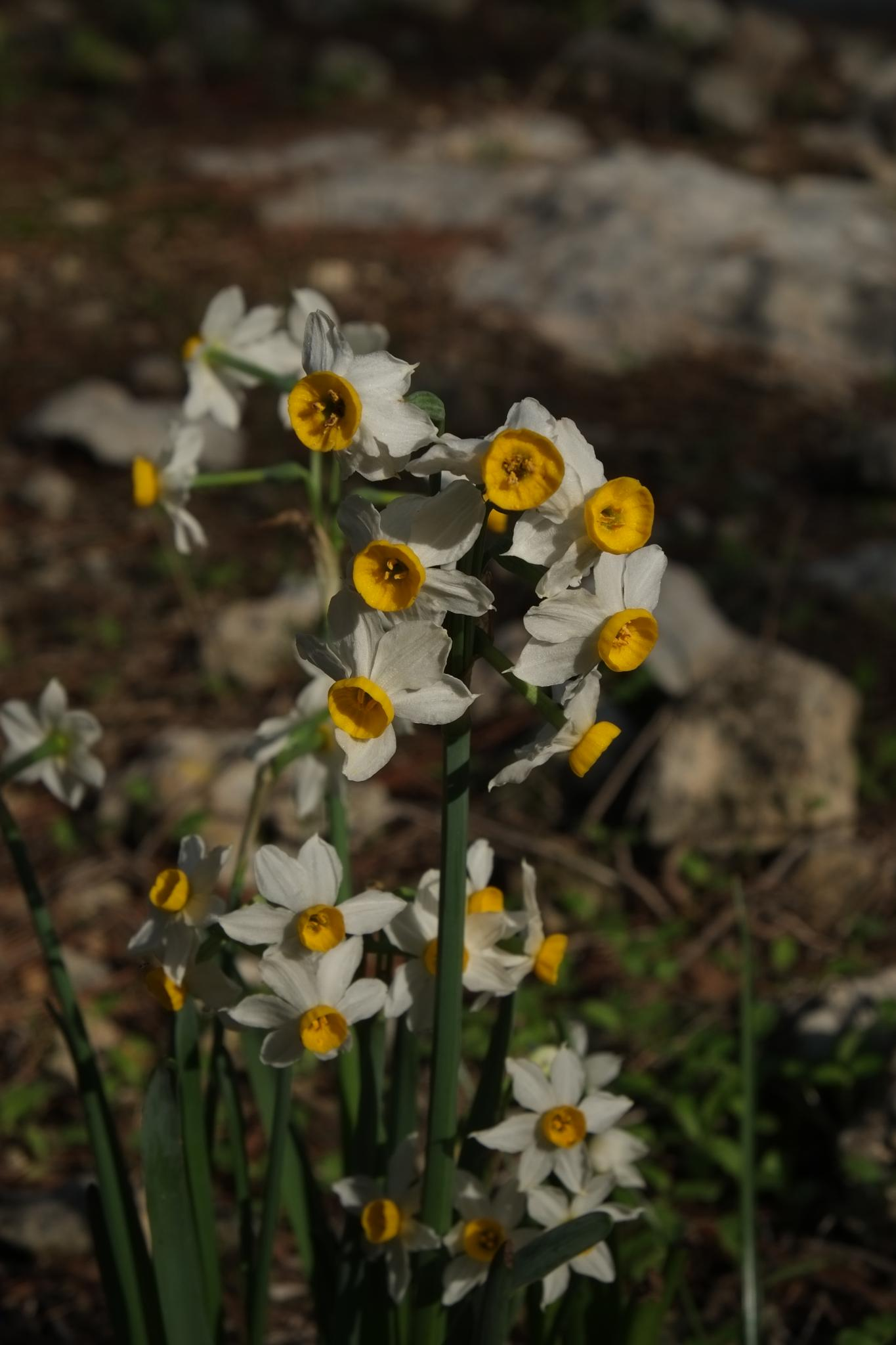 Narcissus/  by doron