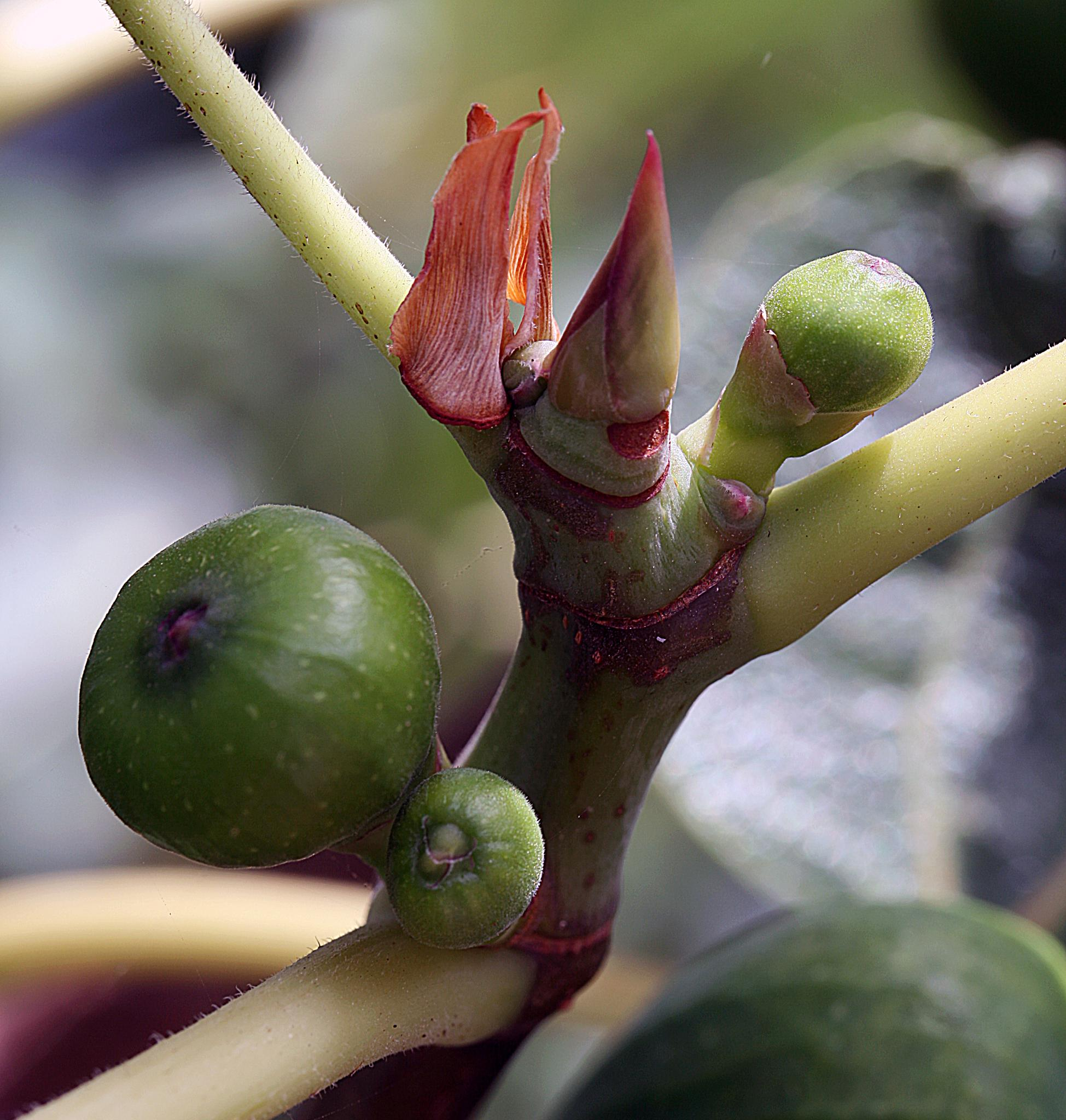 Figs by Roberto Russo