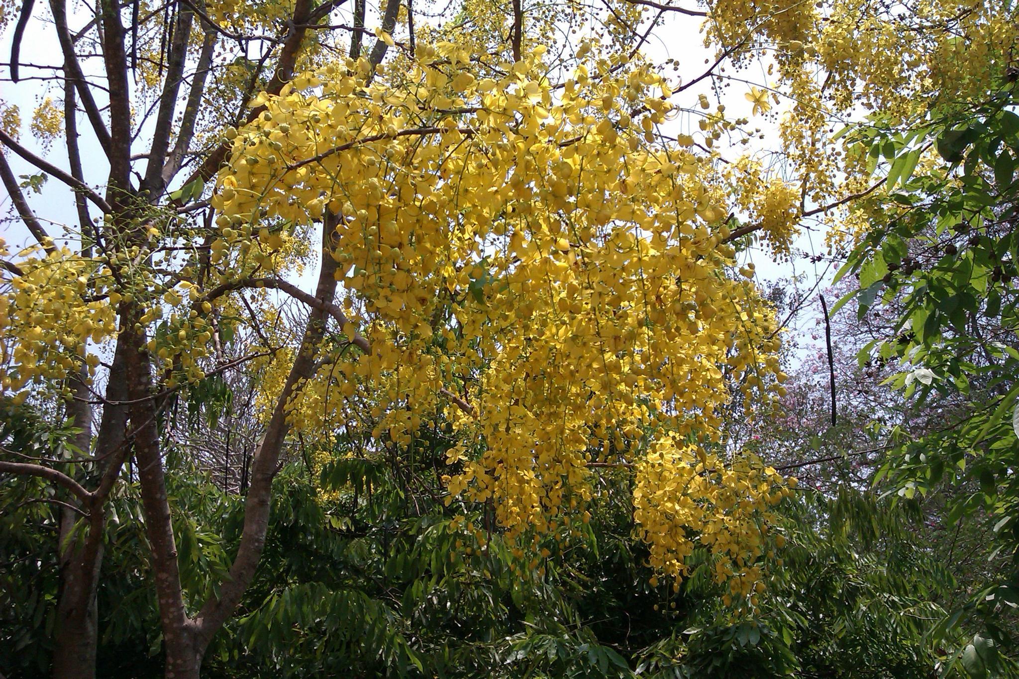 Cassia fistula by Jayakumar Y