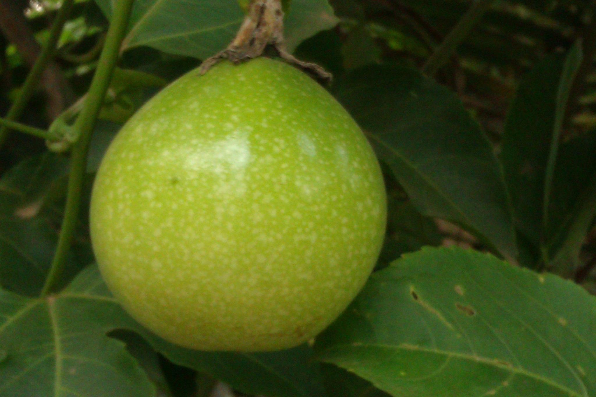 Passiflora edulis (Passionfruit) by Jayakumar Y