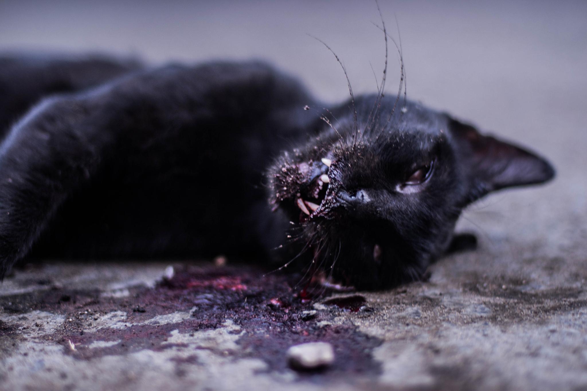 The Unlucky Cat by  Sammy Shwairy