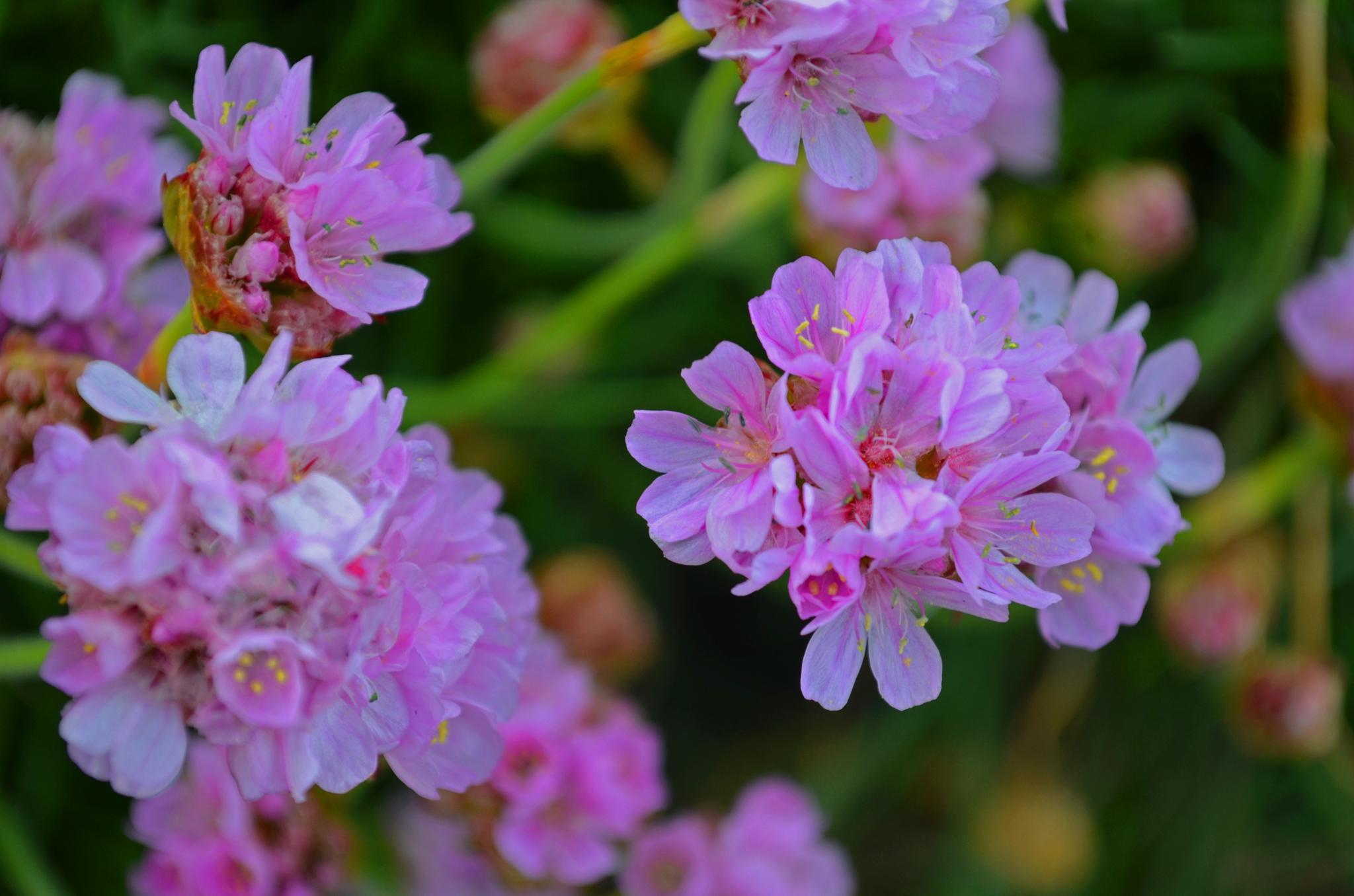 Purple flowers by Boonietunes