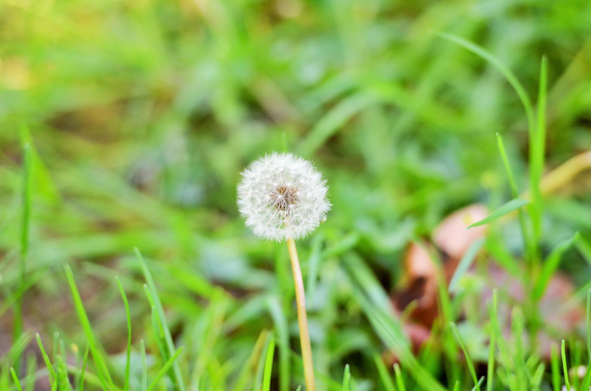 Single Dandelion by Boonietunes