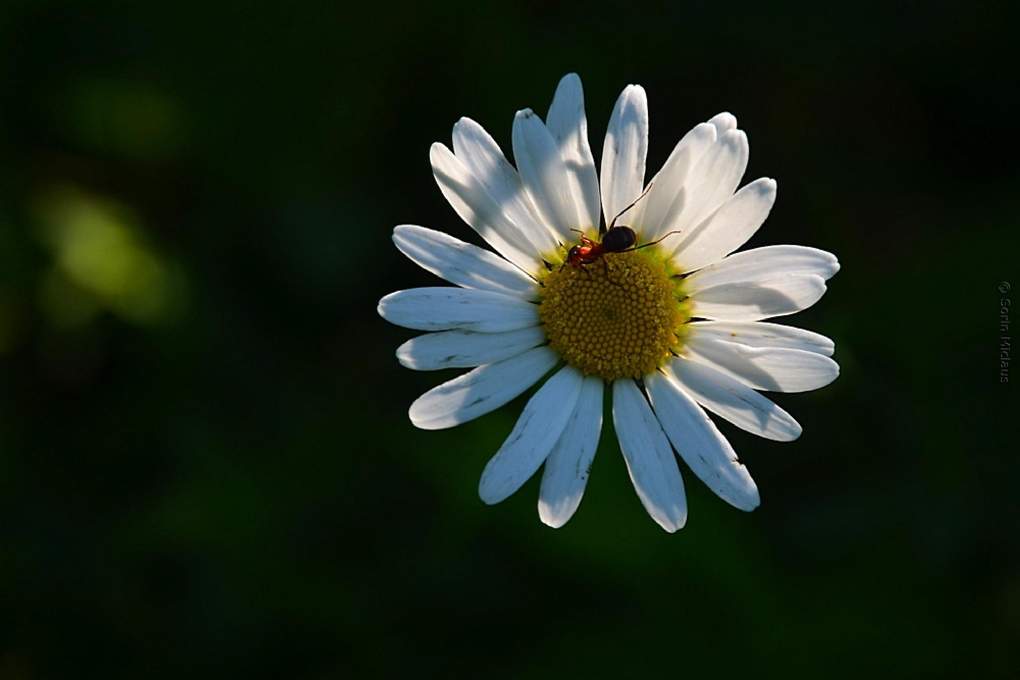 Common Daisy by smiclaus
