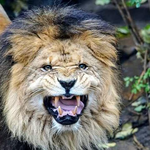 Lion. Artis Amsterdan by martijn storm