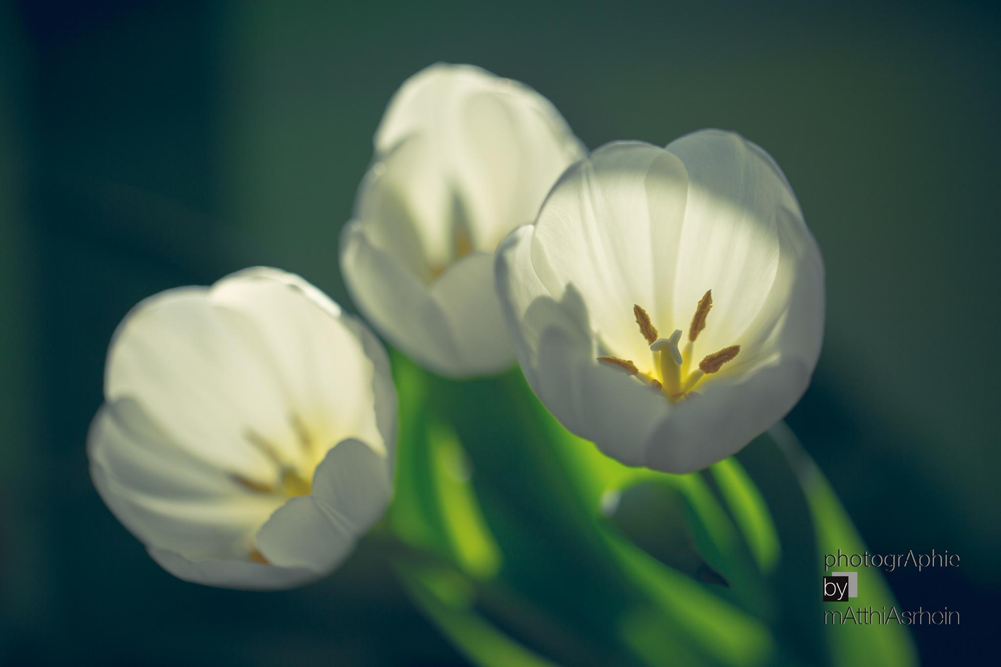 Tulips 1 by MatthiasRhein