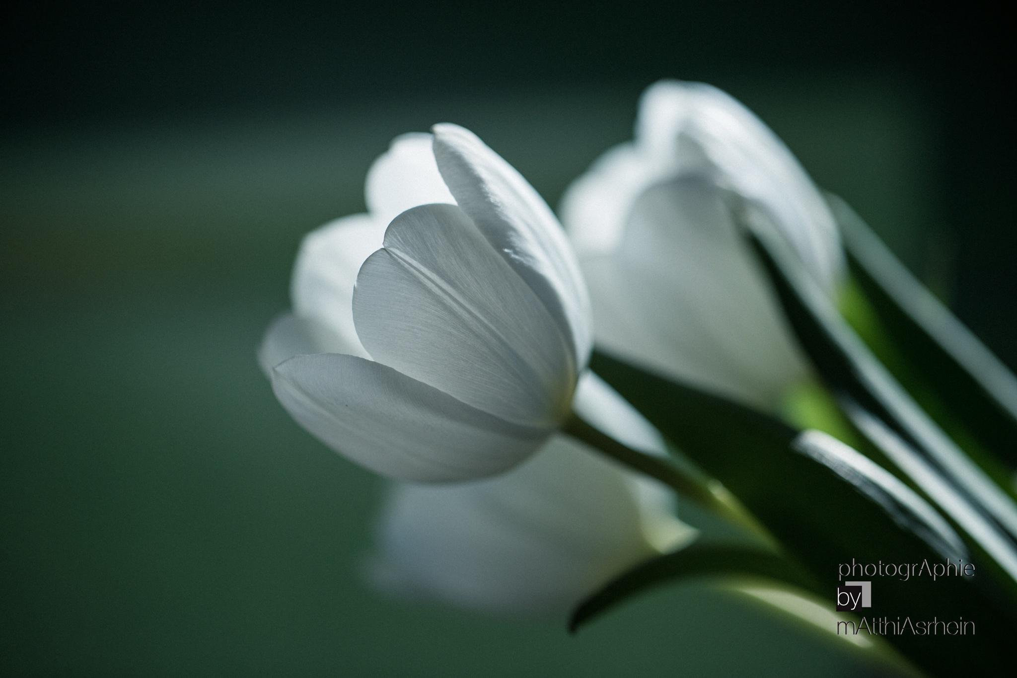 Tulips 2 by MatthiasRhein