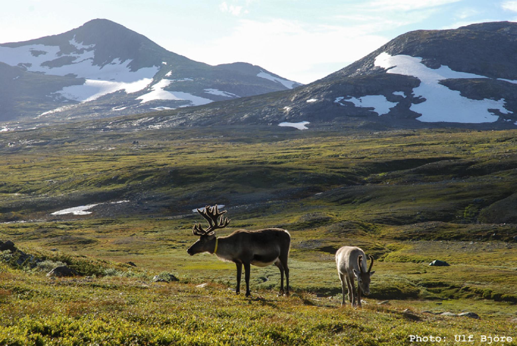 Reindeers by Ulf Björe