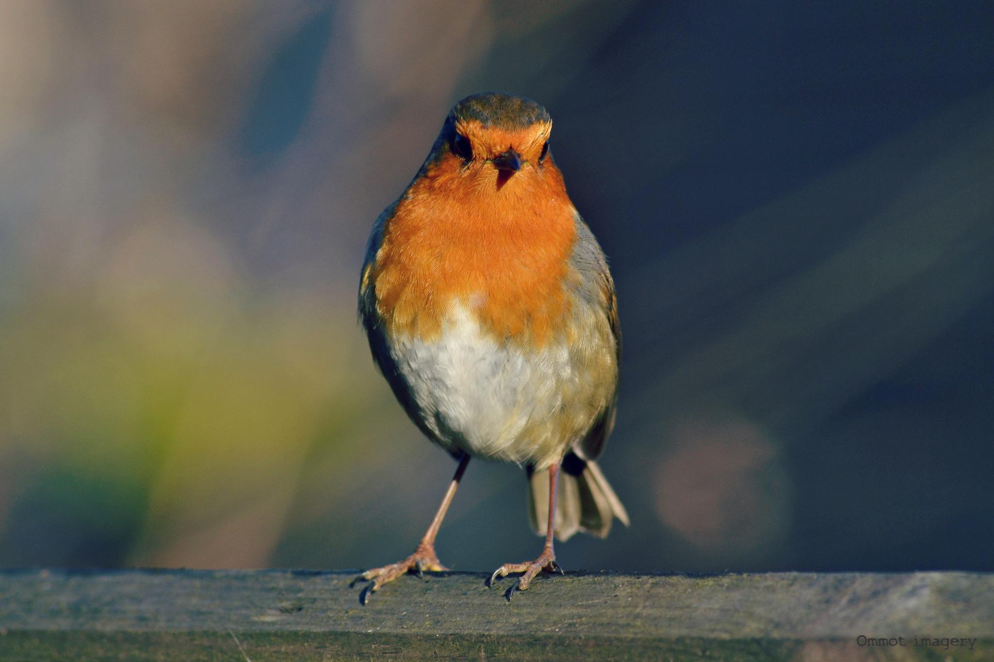 Robin by Steve Thomas