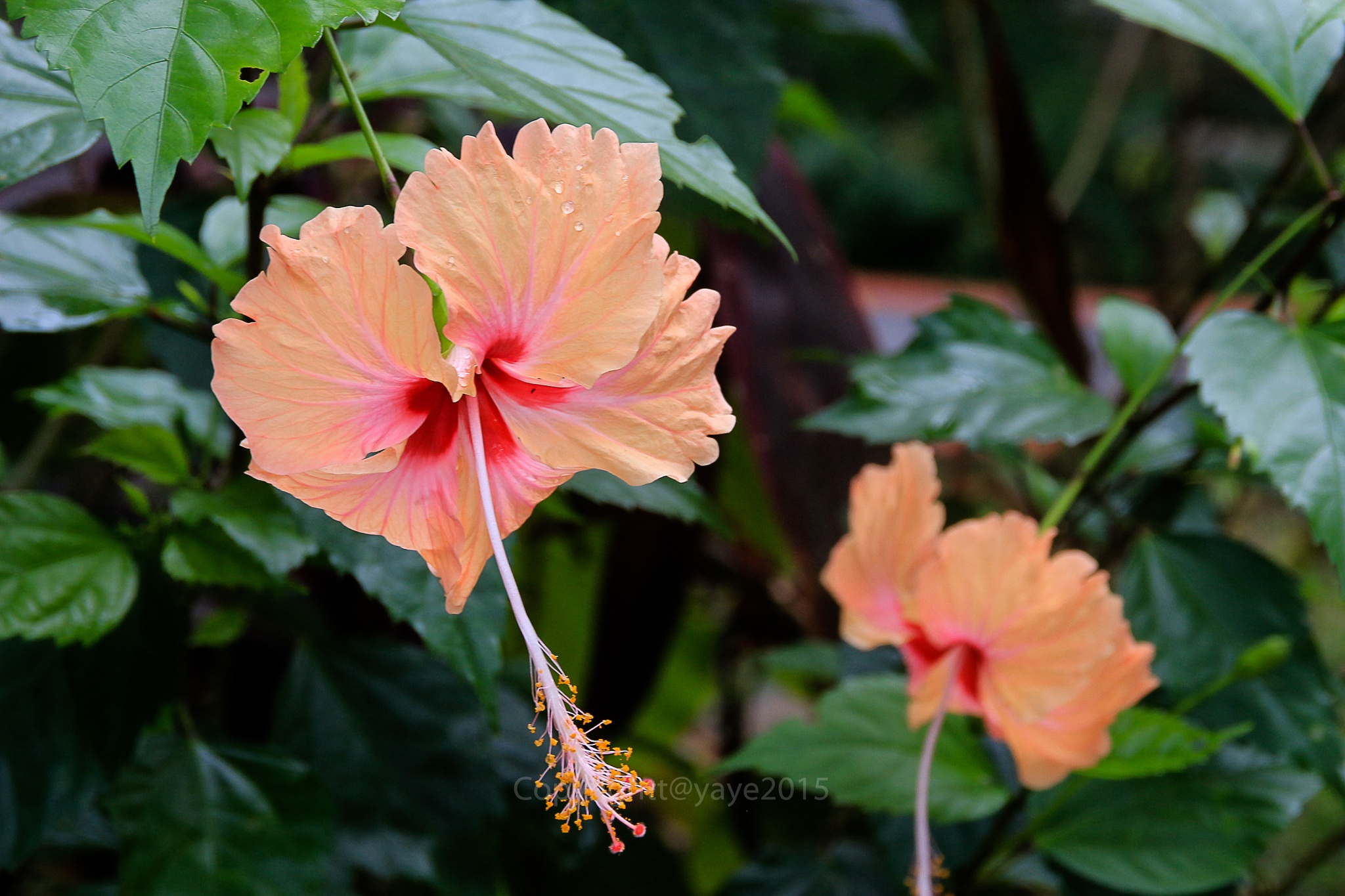 Another Hibiscus by yaye